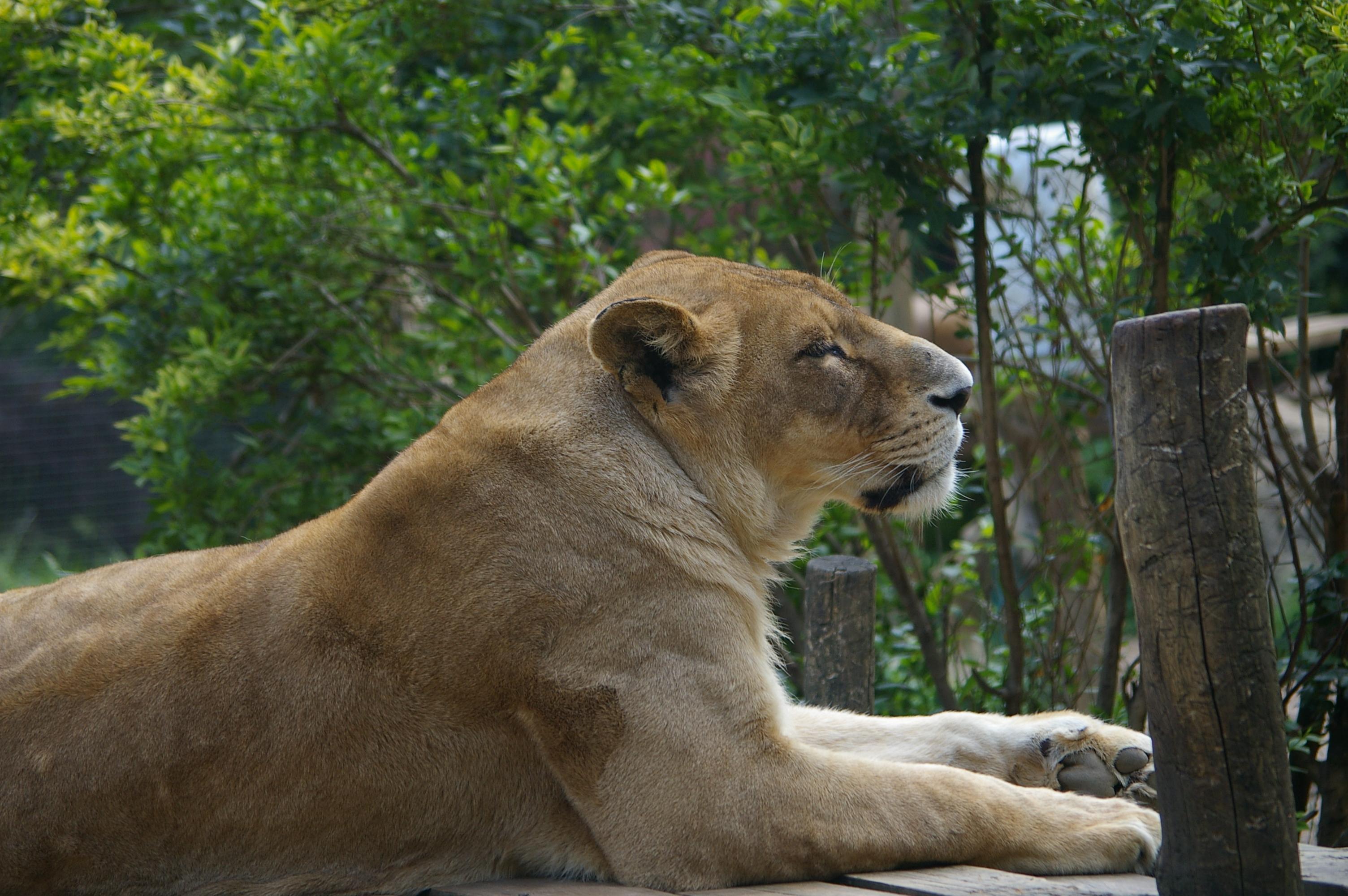 Lioness, Animal, Big, Carnivore, Cat, HQ Photo