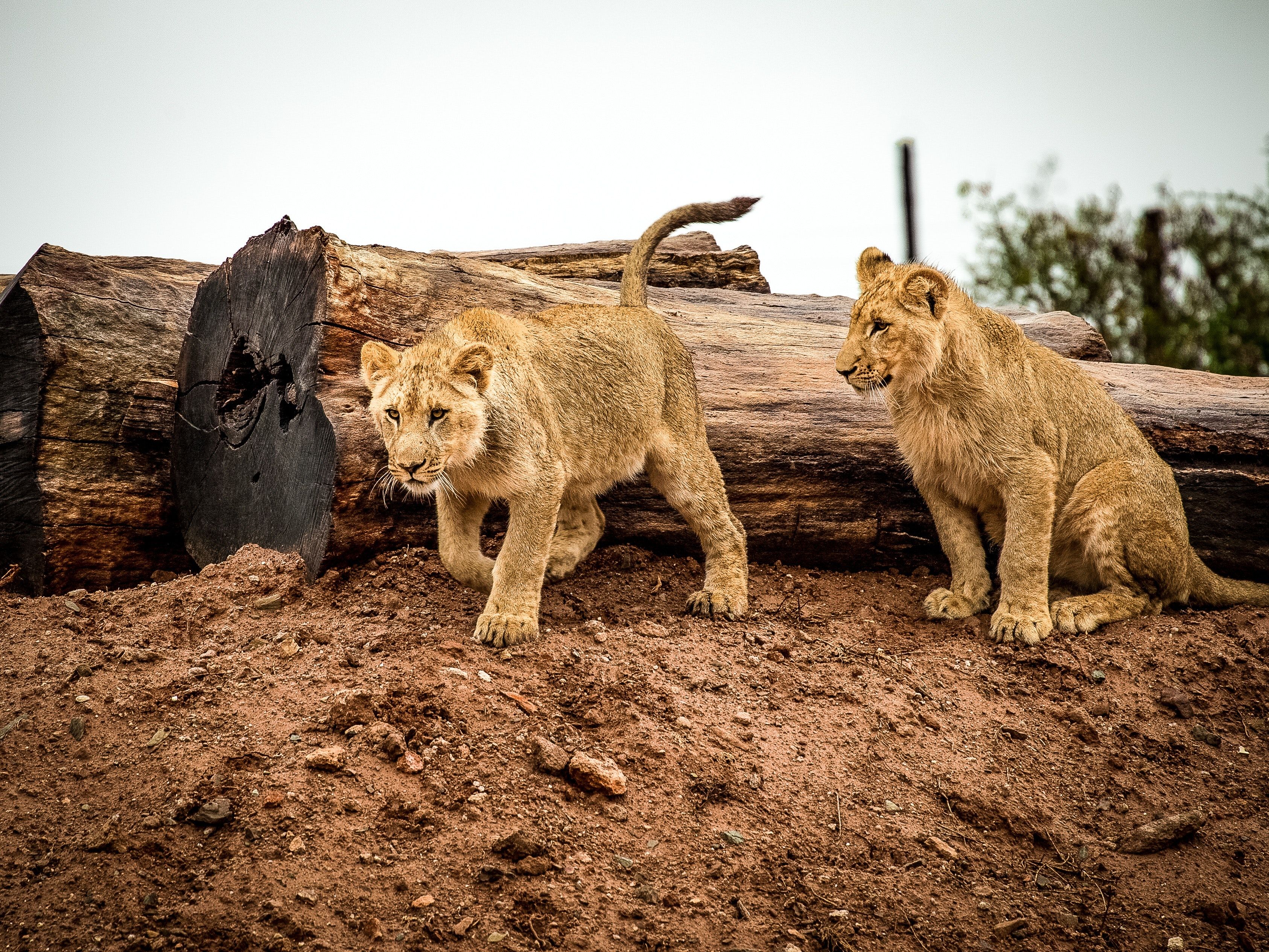 Lioness beside wood trunk during daytime photo