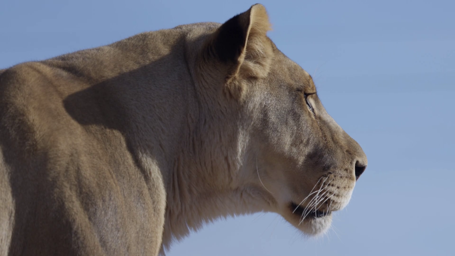 Lioness on the hunt close up side profile on blue sky Stock Video ...