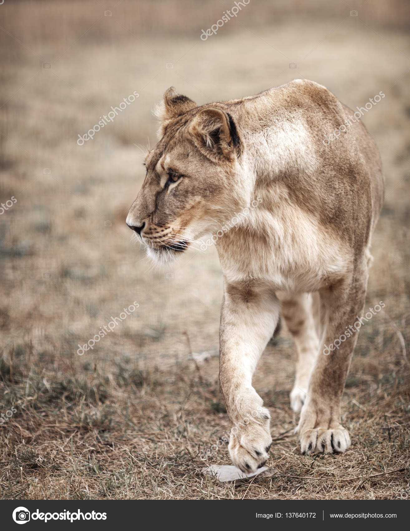 Lioness female (Panthera leo) profile view. lioness in the savan ...