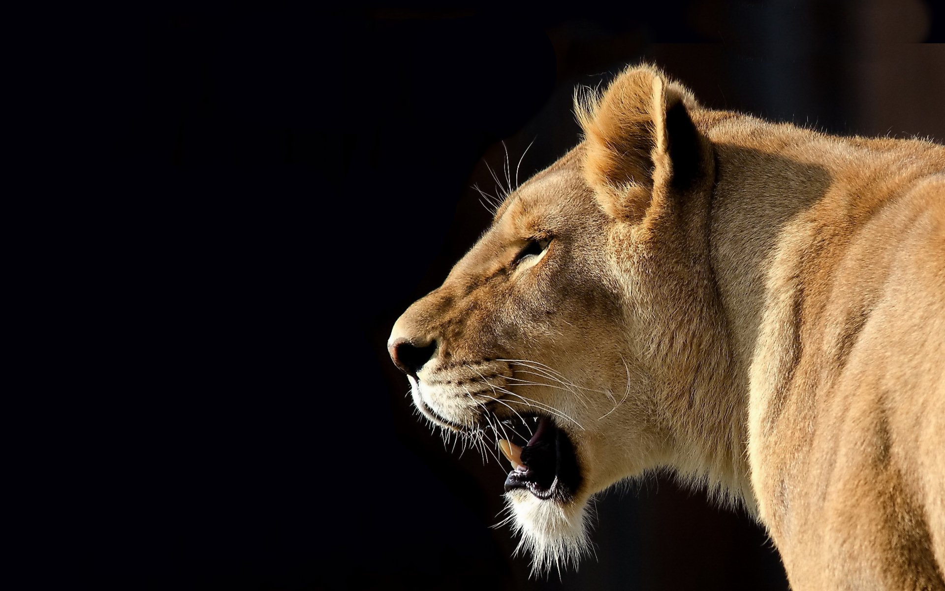 Lioness Full HD Wallpaper and Background Image | 1920x1200 | ID:288232