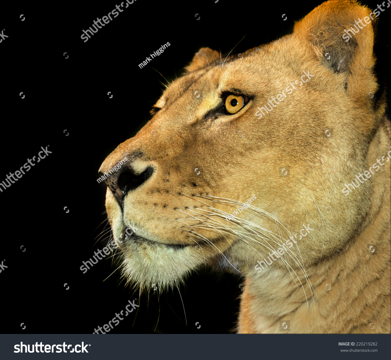 Lioness Profile On Black Background Stock Photo 220219282 - Shutterstock