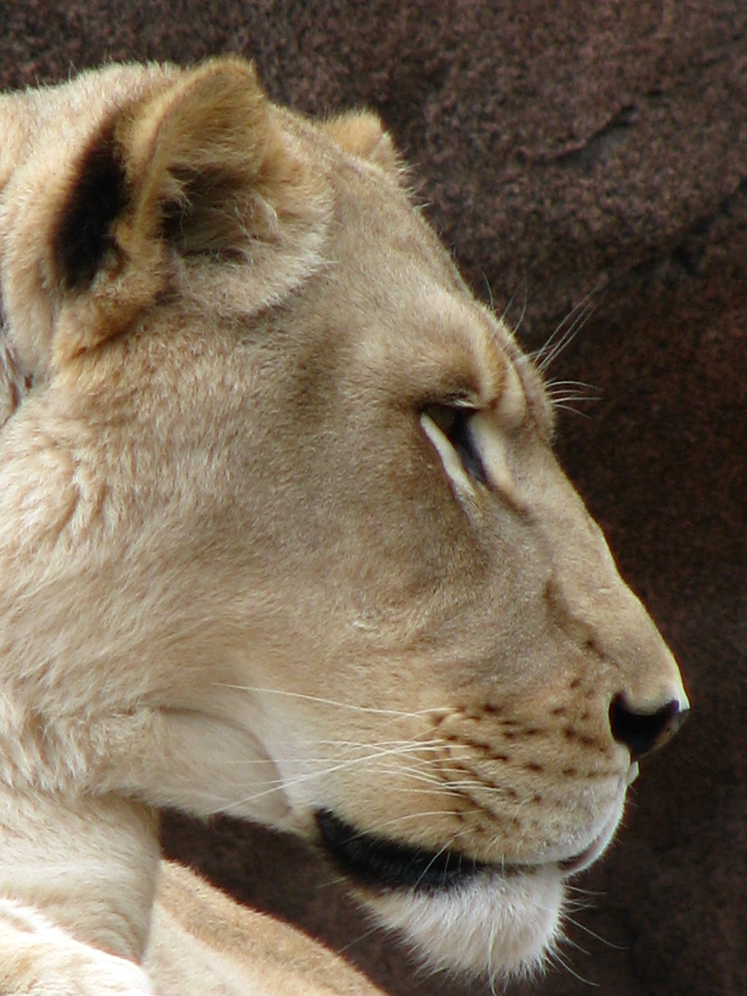 Lioness in profile, Animal, Predator, Whisks, Tiger, HQ Photo