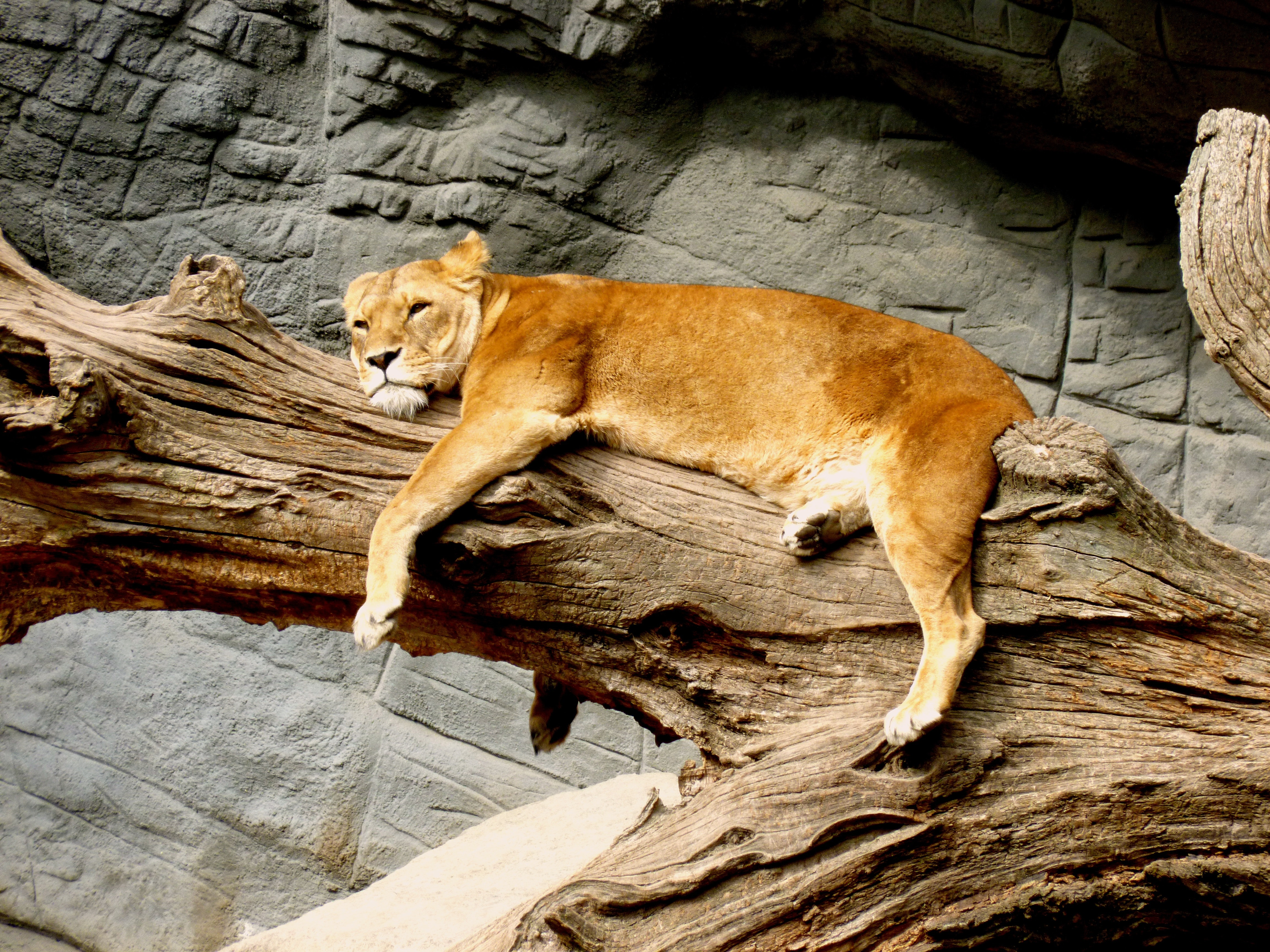 Lioness Lying on Brown Tree Trunk, Sleepy, Resting, Predator, Stone wall, HQ Photo
