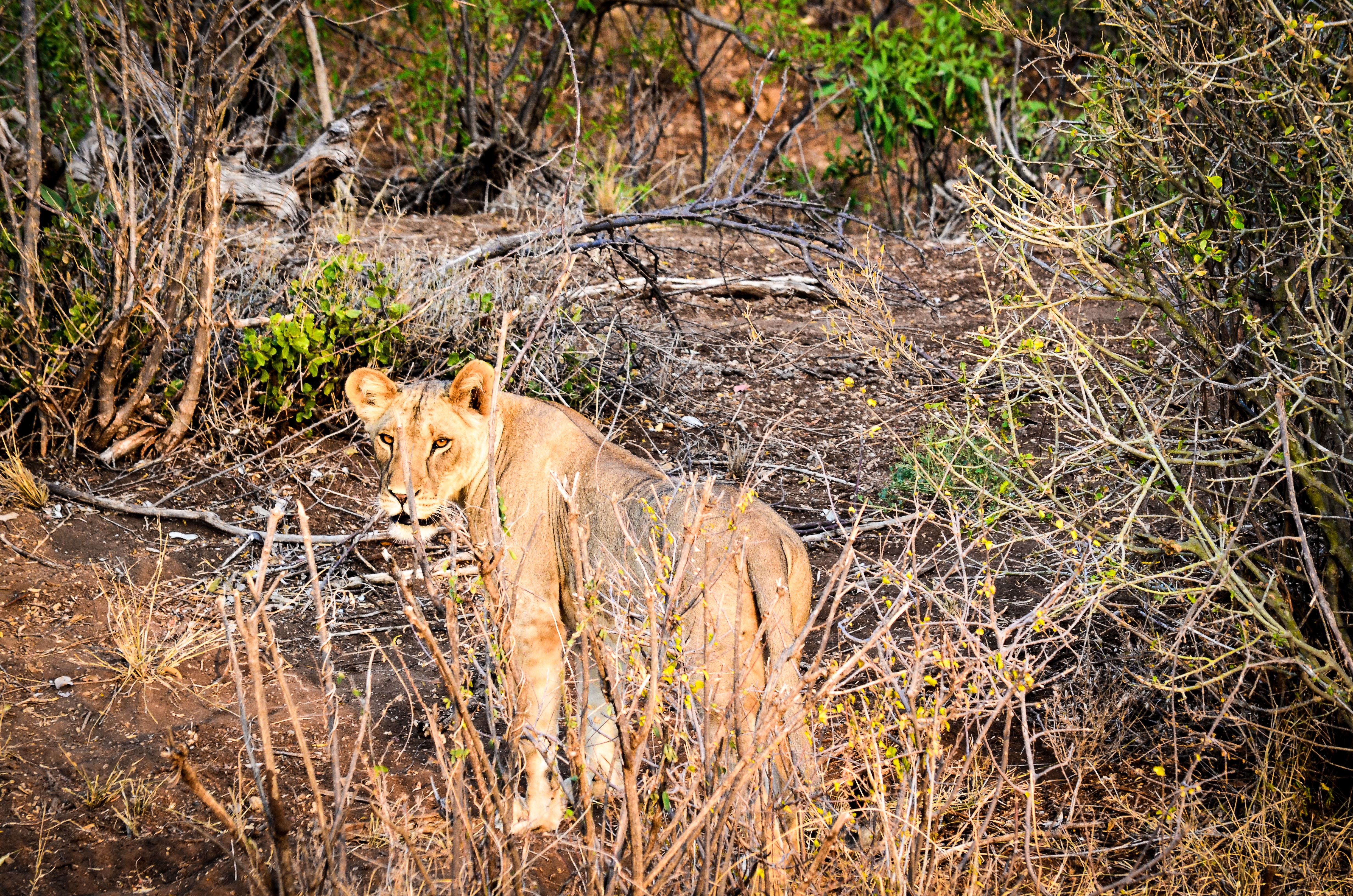 Lioness on forest photo