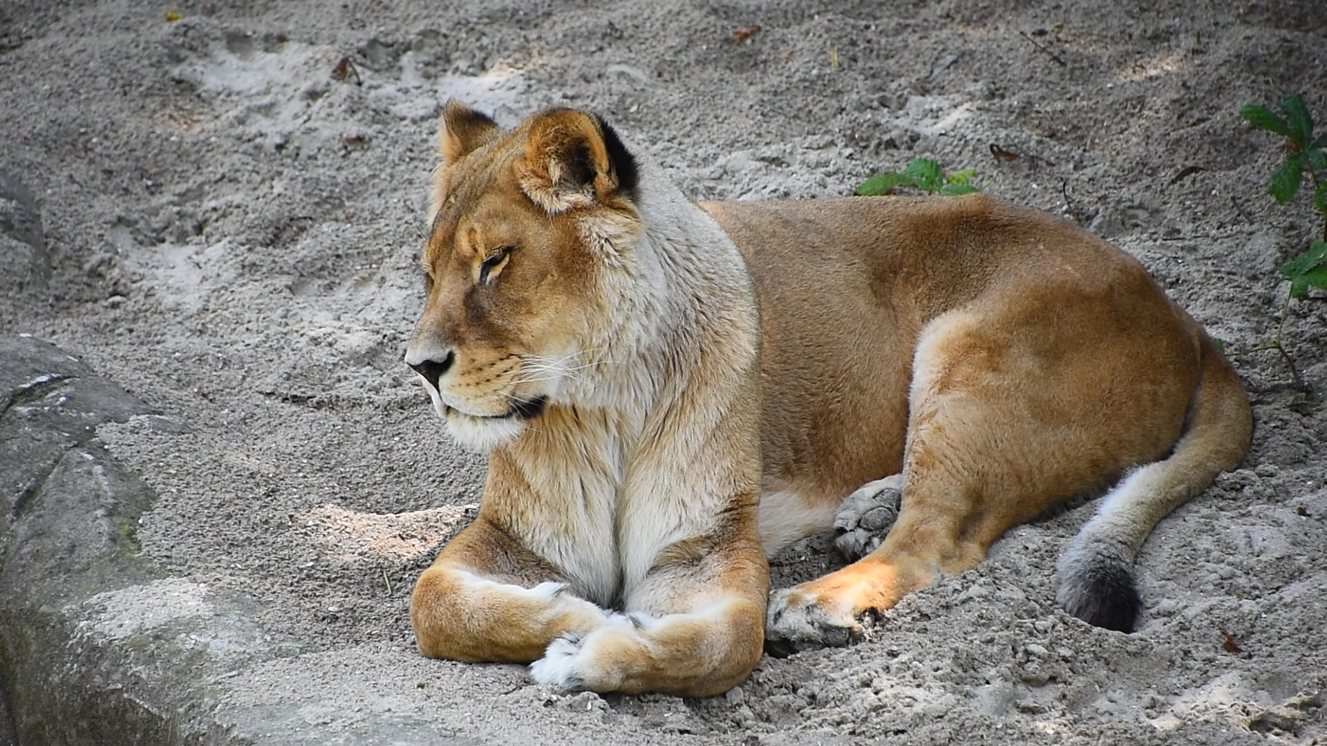 Close up lioness resting on the ground ~ Footage #84944238
