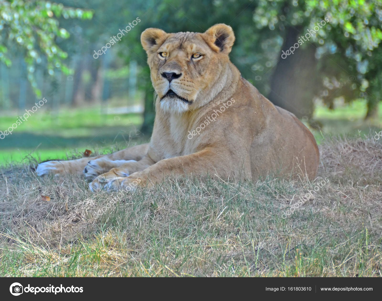 Lioness lying on the ground — Stock Photo © mountainpix #161803610