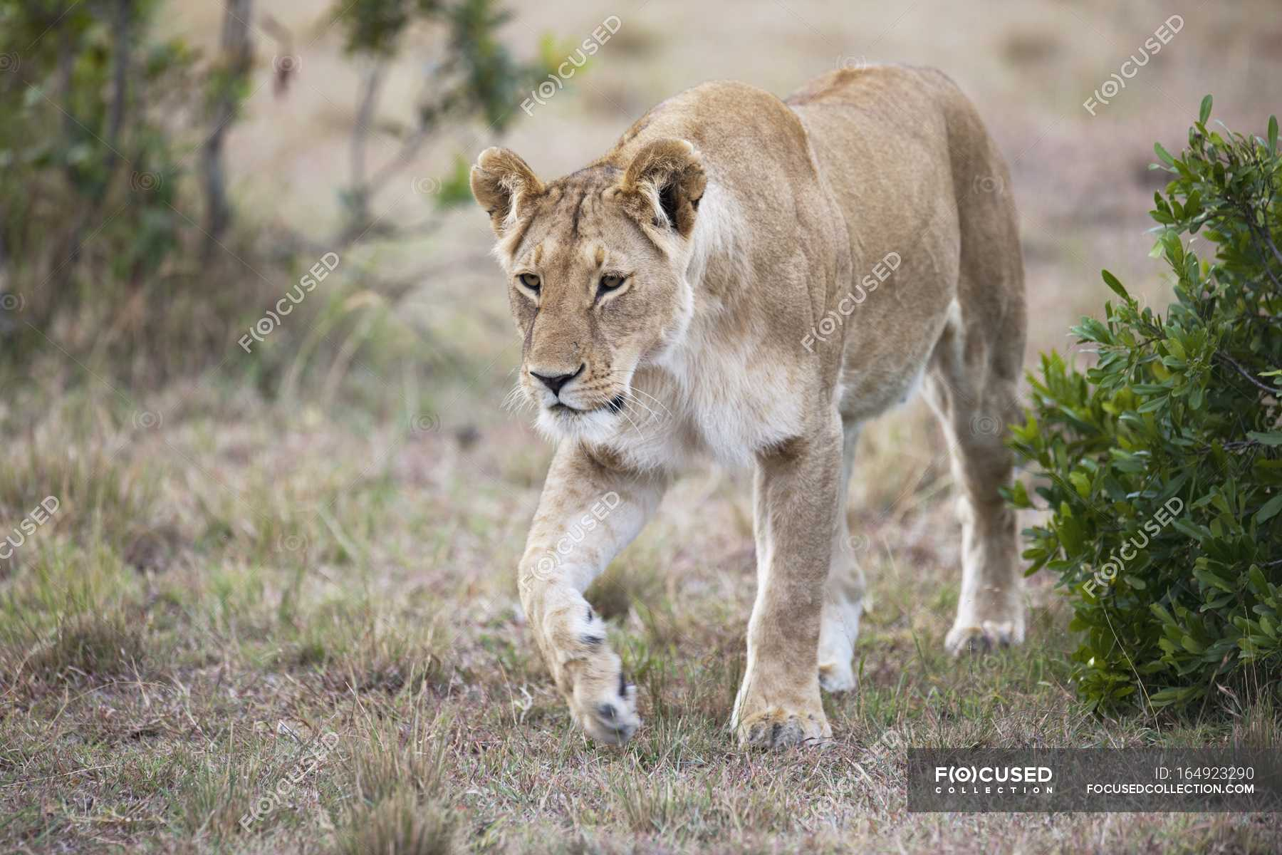 Lioness walking over ground — Stock Photo   #164923290