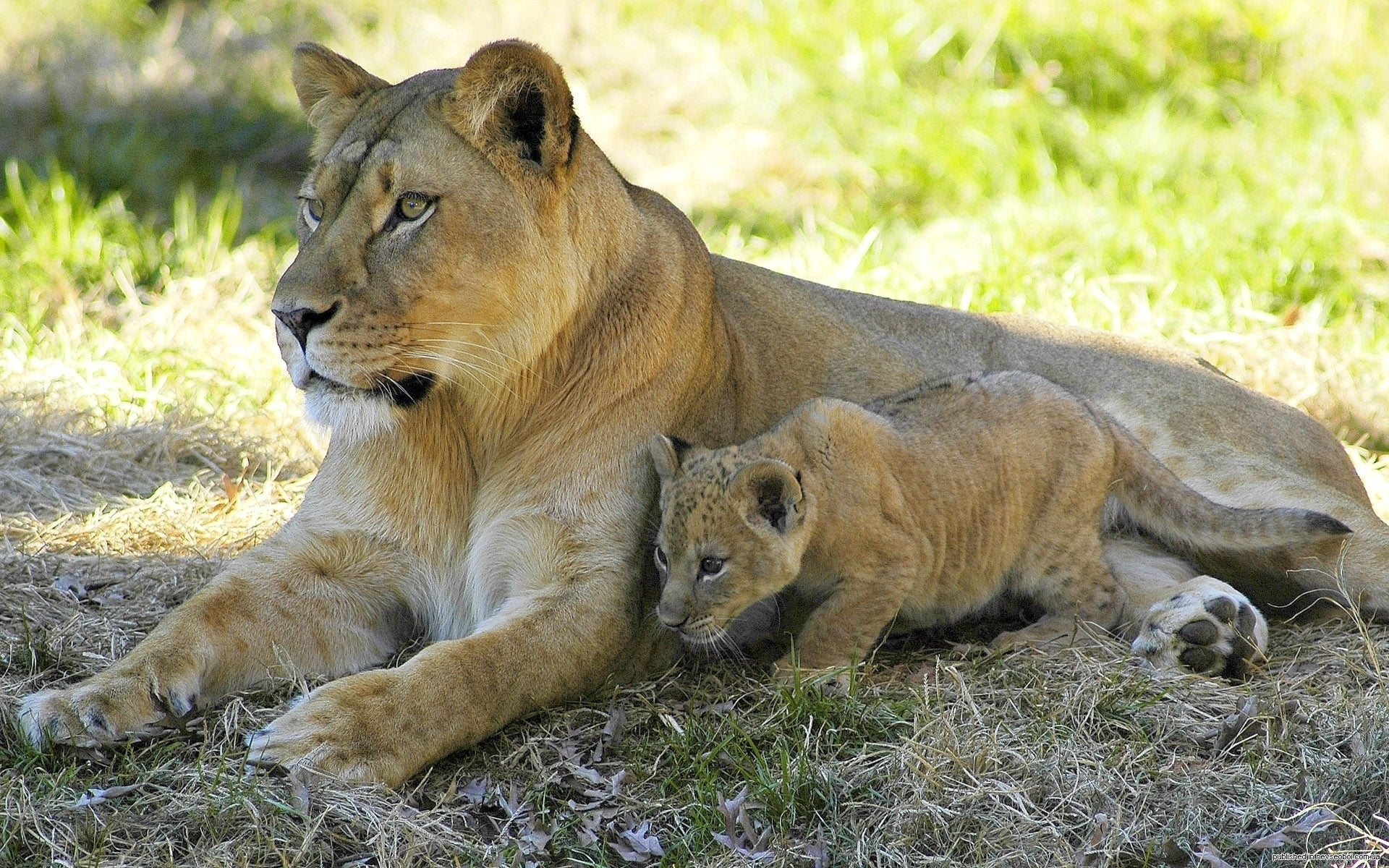 Lioness and cub laying on the ground HD wallpaper   Wallpaper Flare
