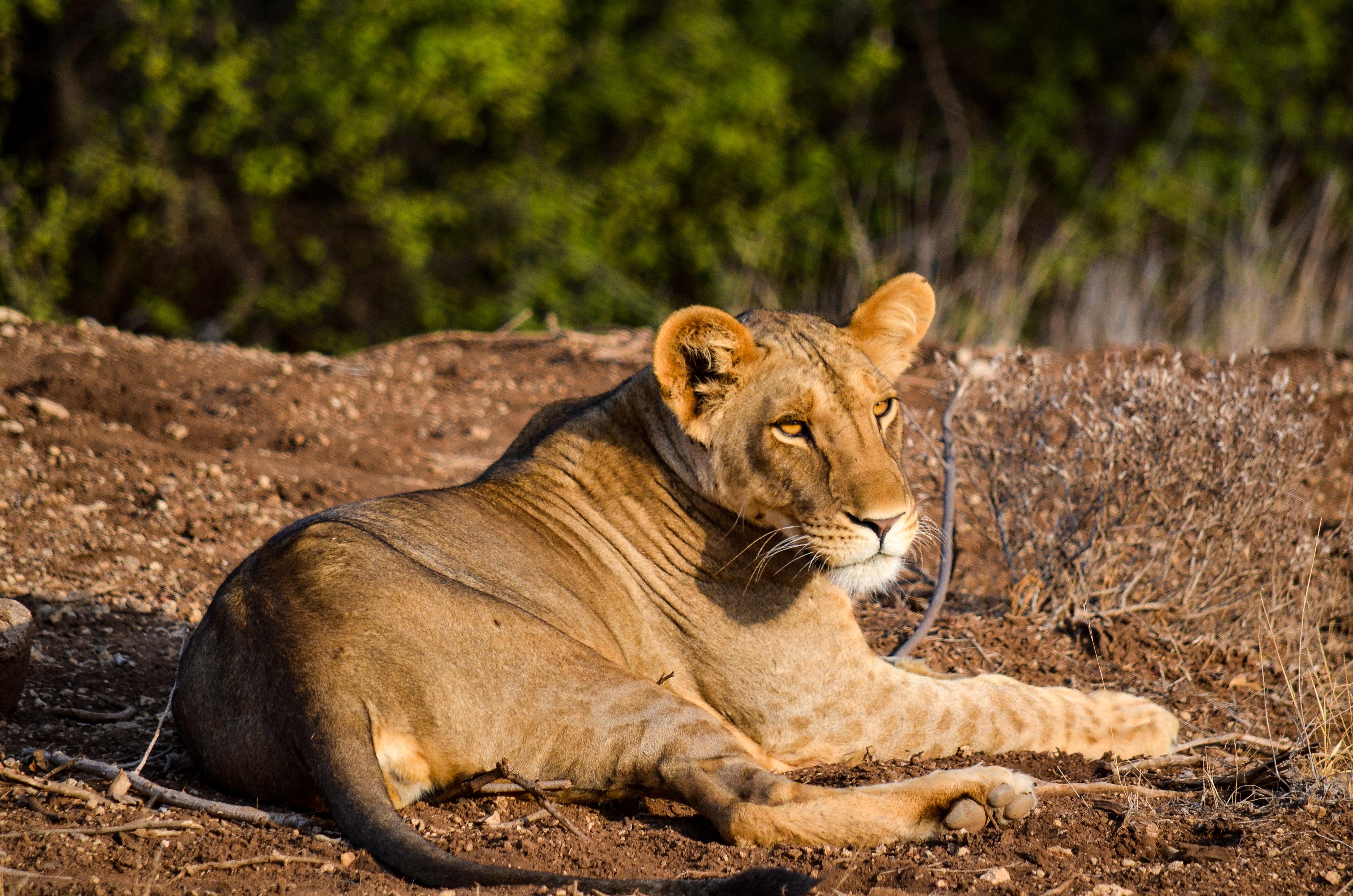 Lioness on ground photo