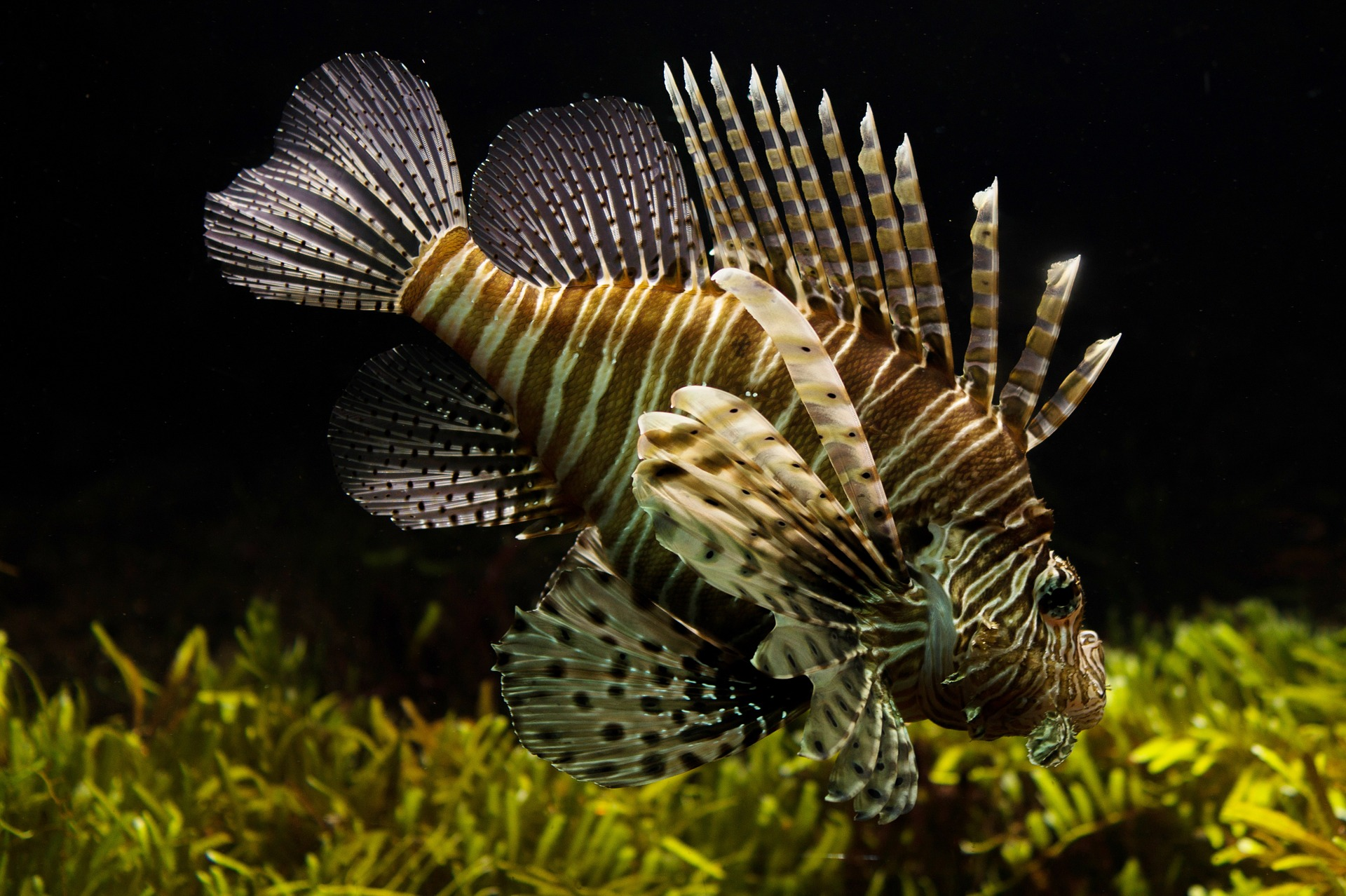 Lionfish in the Ocean, Animal, Fish, Lionfish, Nature, HQ Photo