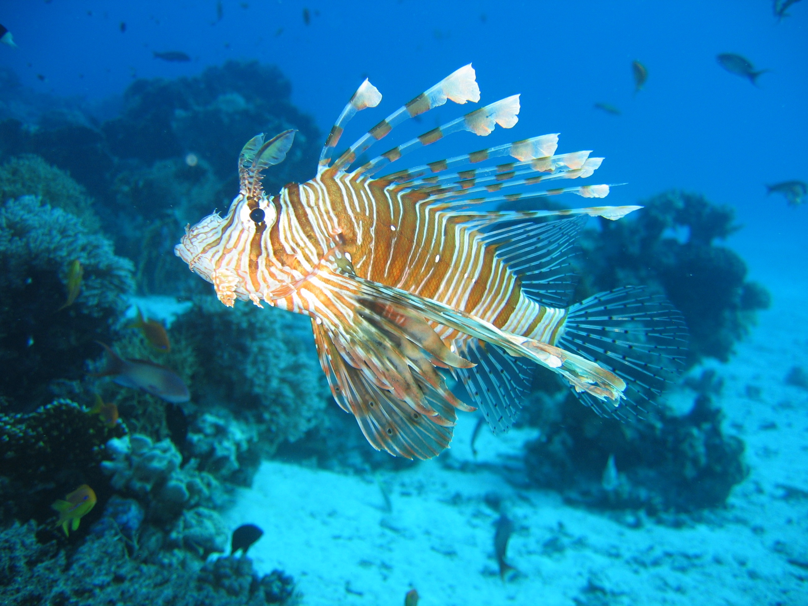 Lionfish in the sea photo