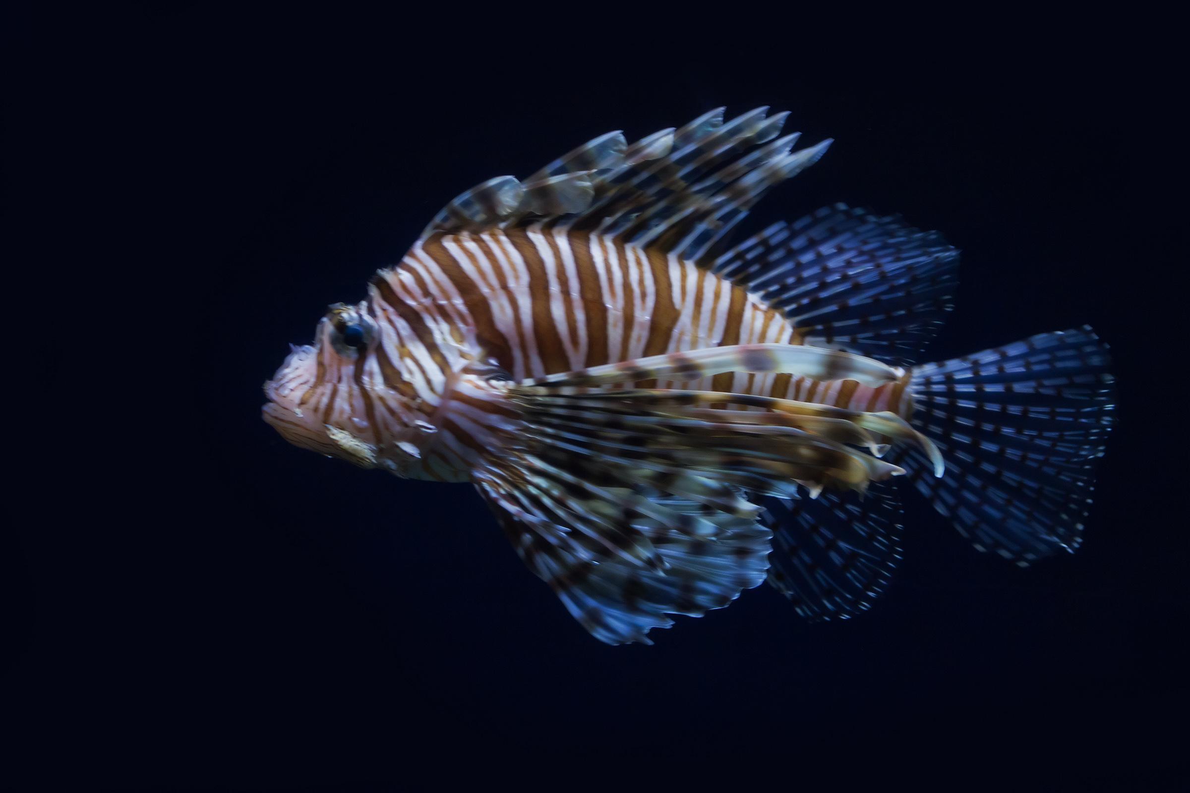 Lionfish, Spotfin lionfish