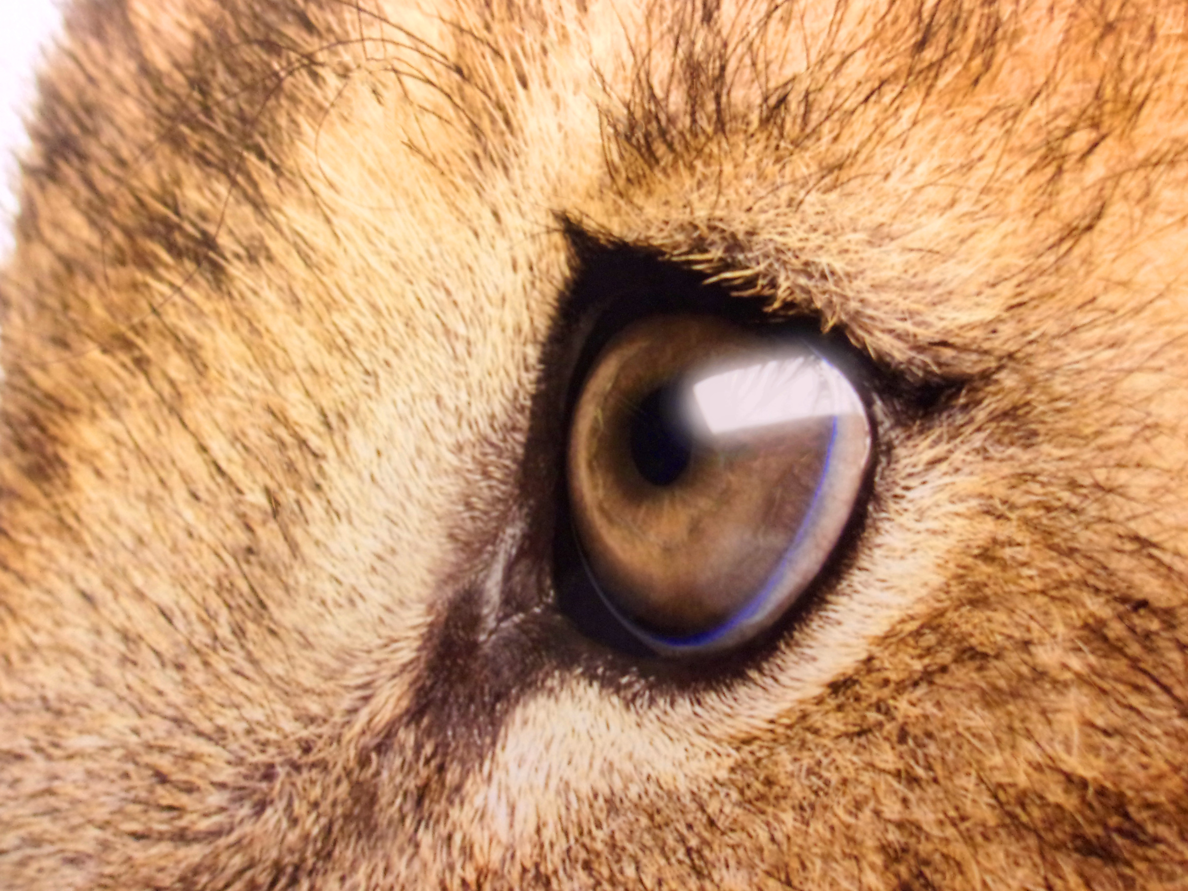 Lions sad eyes - close-up photo