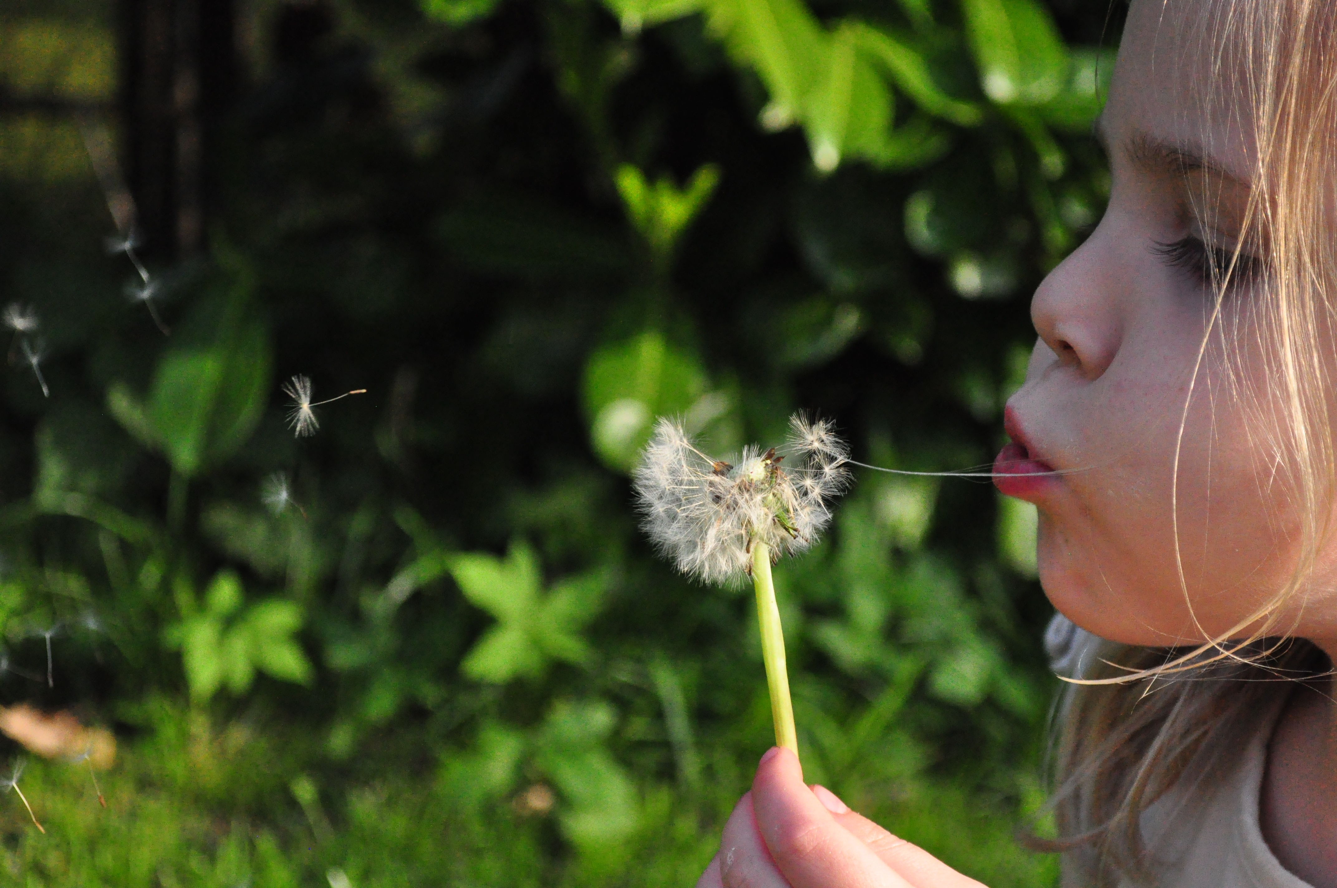 Little Blow, Blow, Blowball, Blowing, Flower, HQ Photo