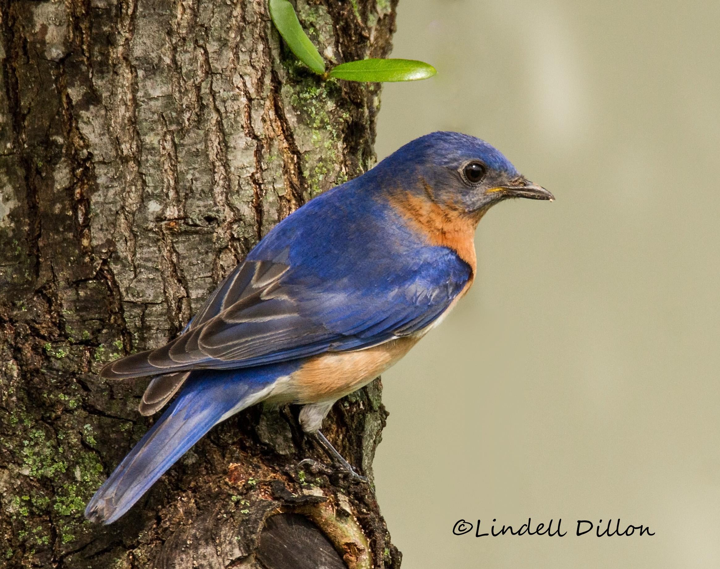 Little blue bird photo