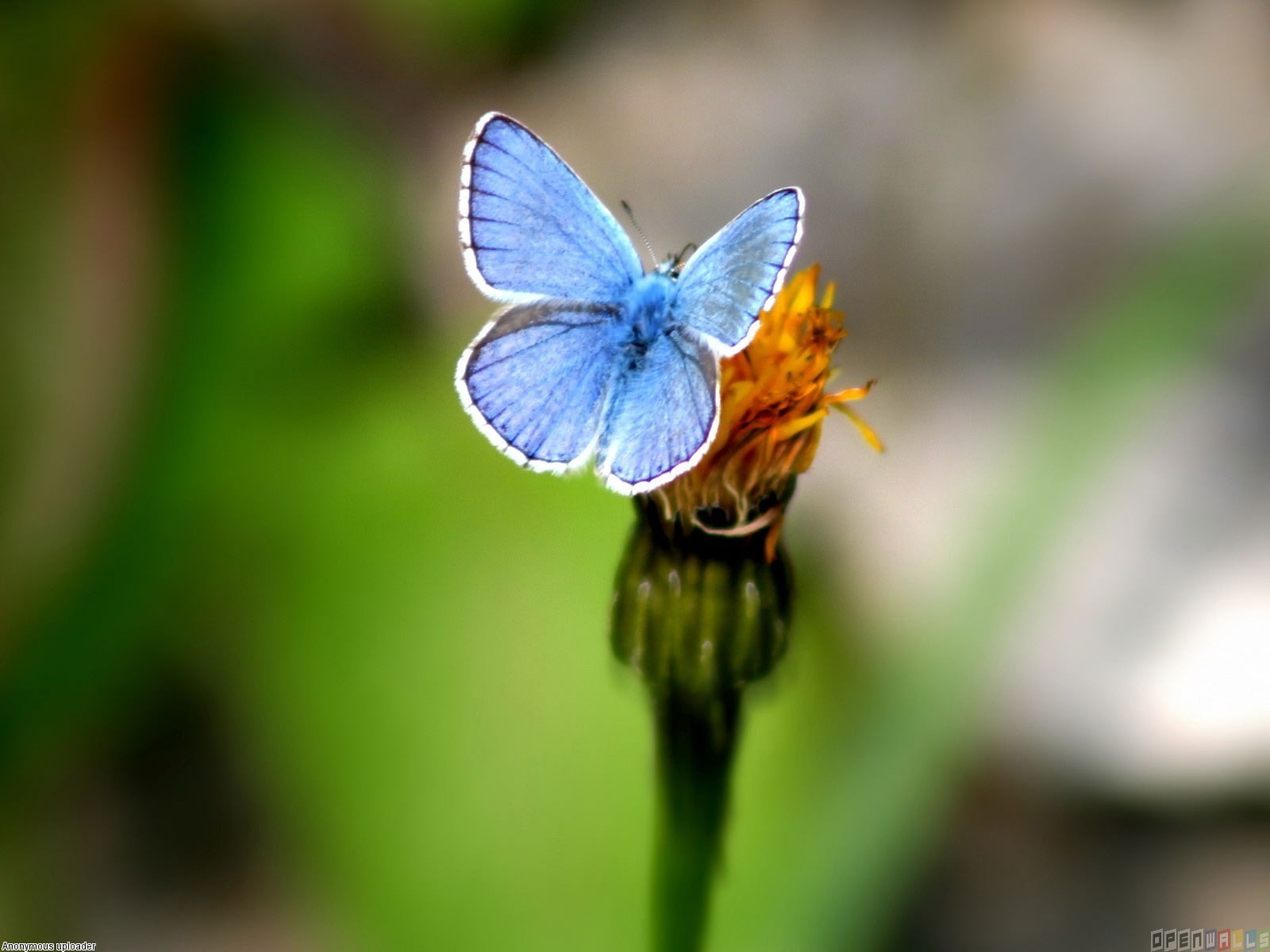 Little blue butterfly photo