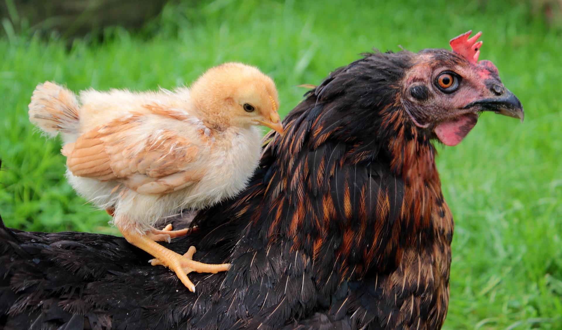 Little chick photo