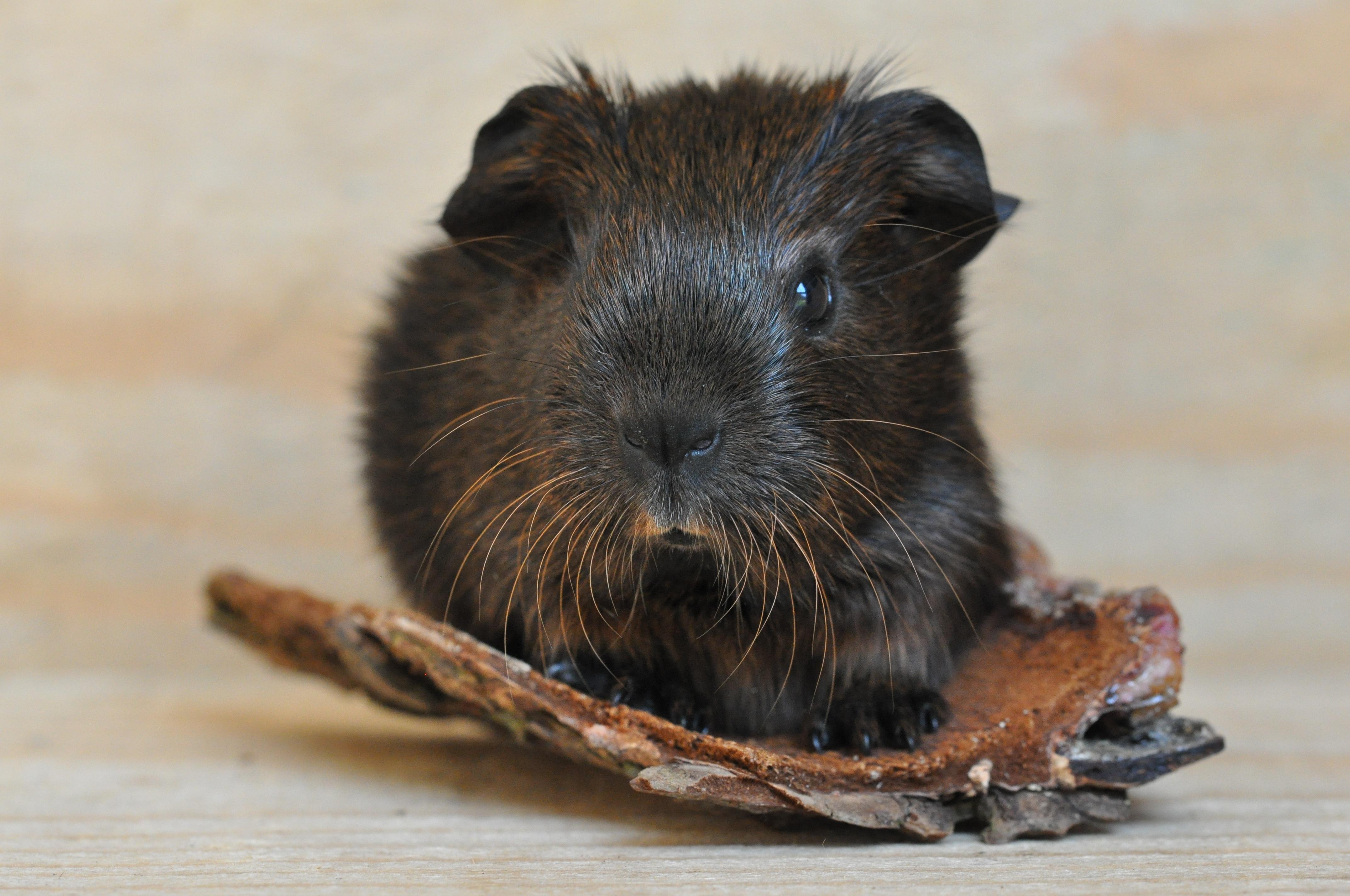 Little guinea photo