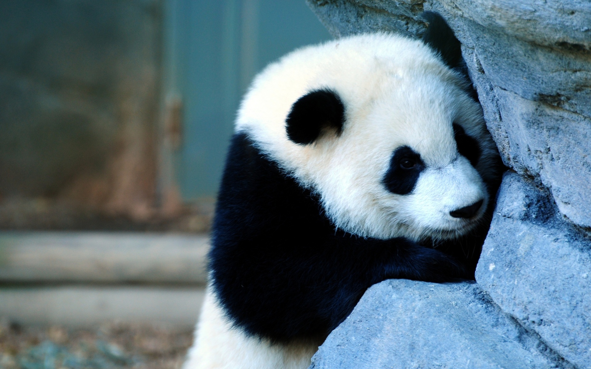 Little panda photo