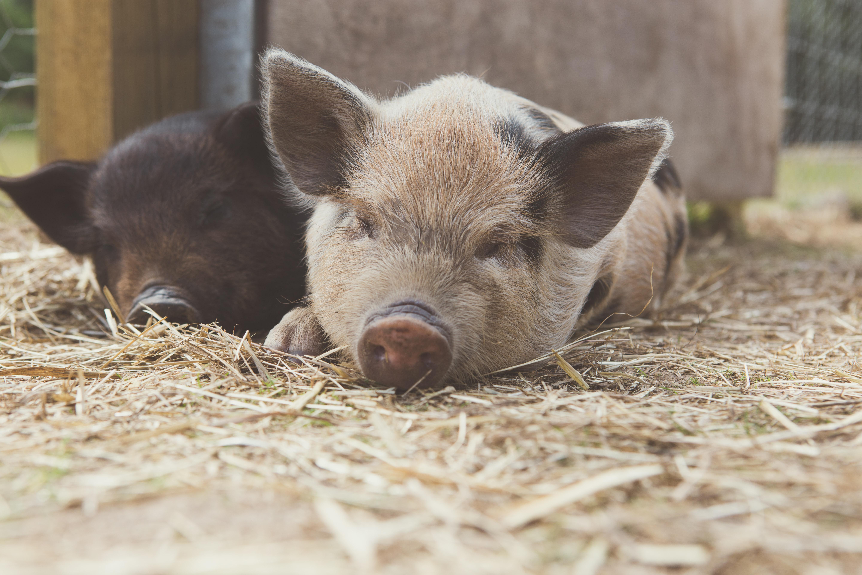 Piggy Pet & Play - Kew Little Pigs