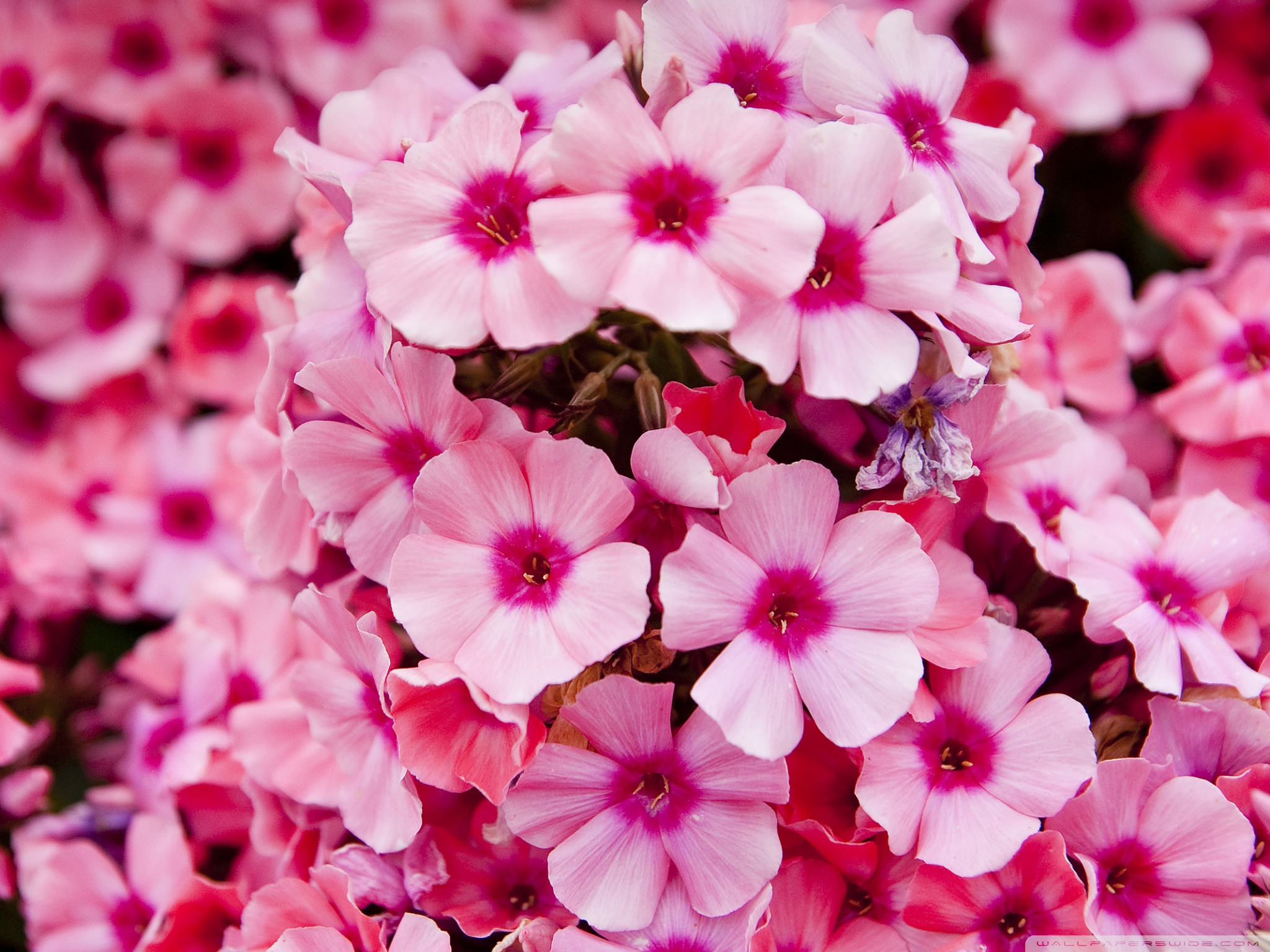 Free photo little pink flowers plant pink plants free little pink flowers mightylinksfo