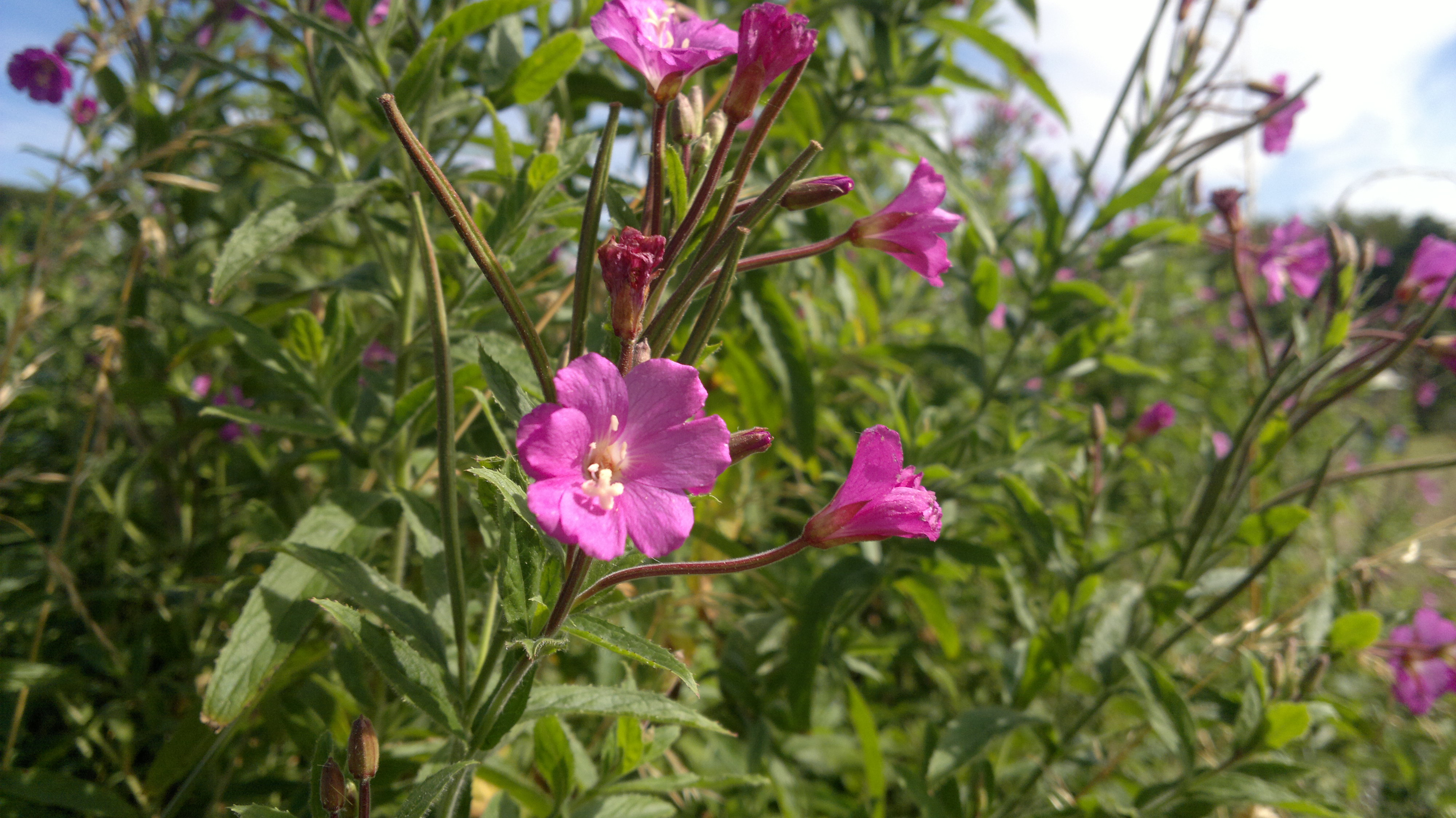 Free Photo Little Pink Flowers Pink Nature Green Free