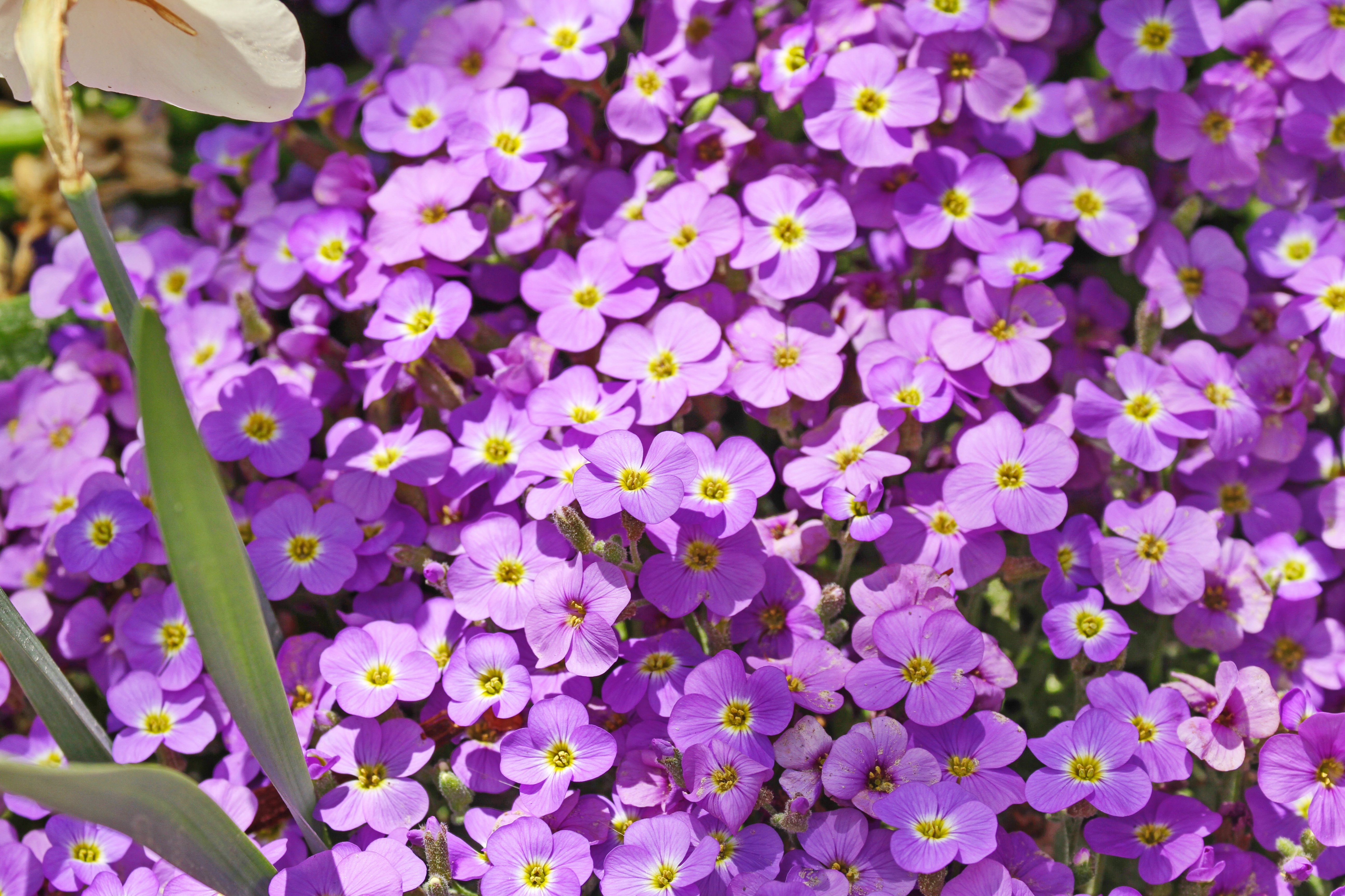Free photo little purple flowers little purple leaves free name these little purple flowers from thanksgiving point the mightylinksfo