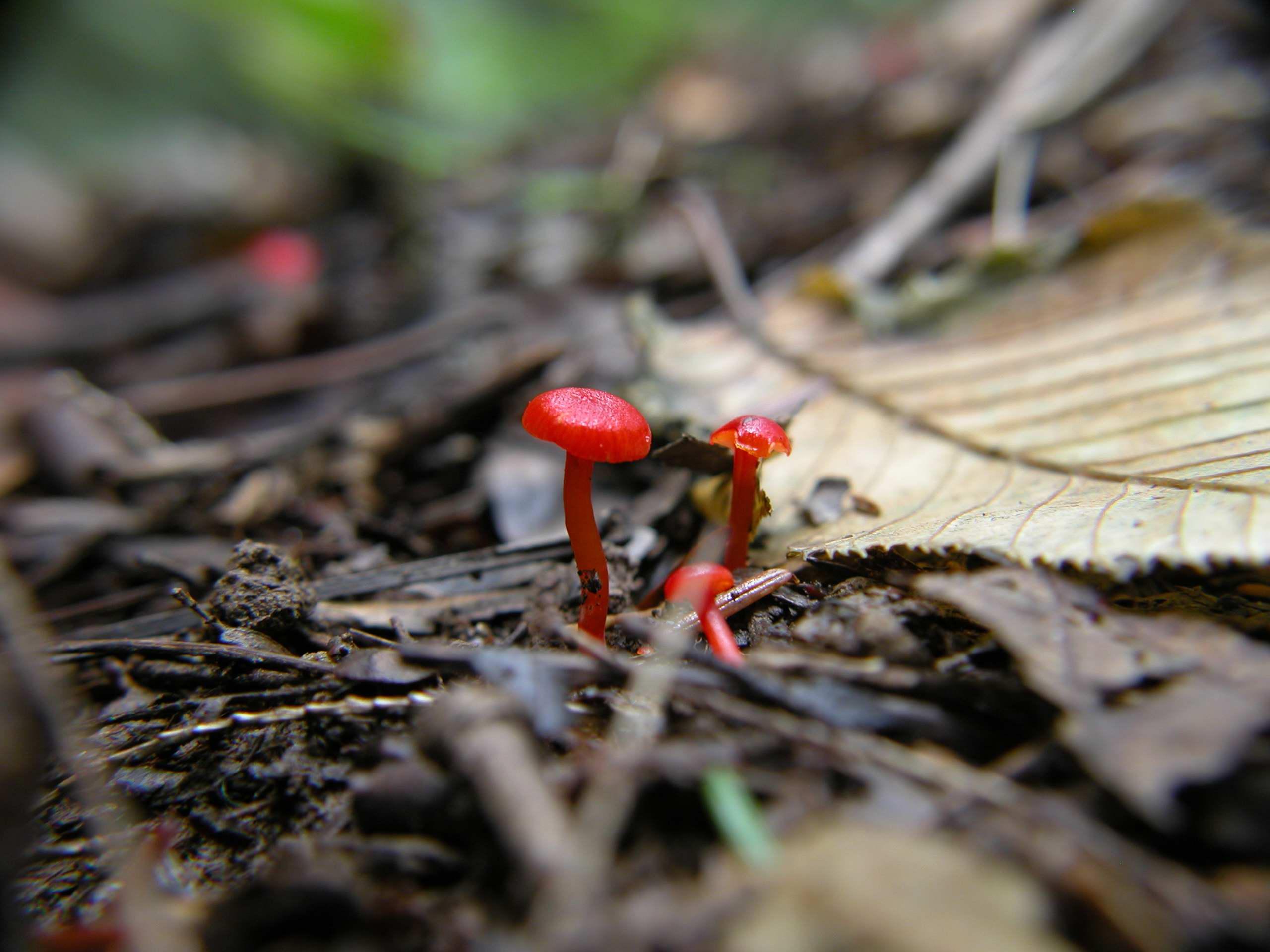 Little red mushroom photo