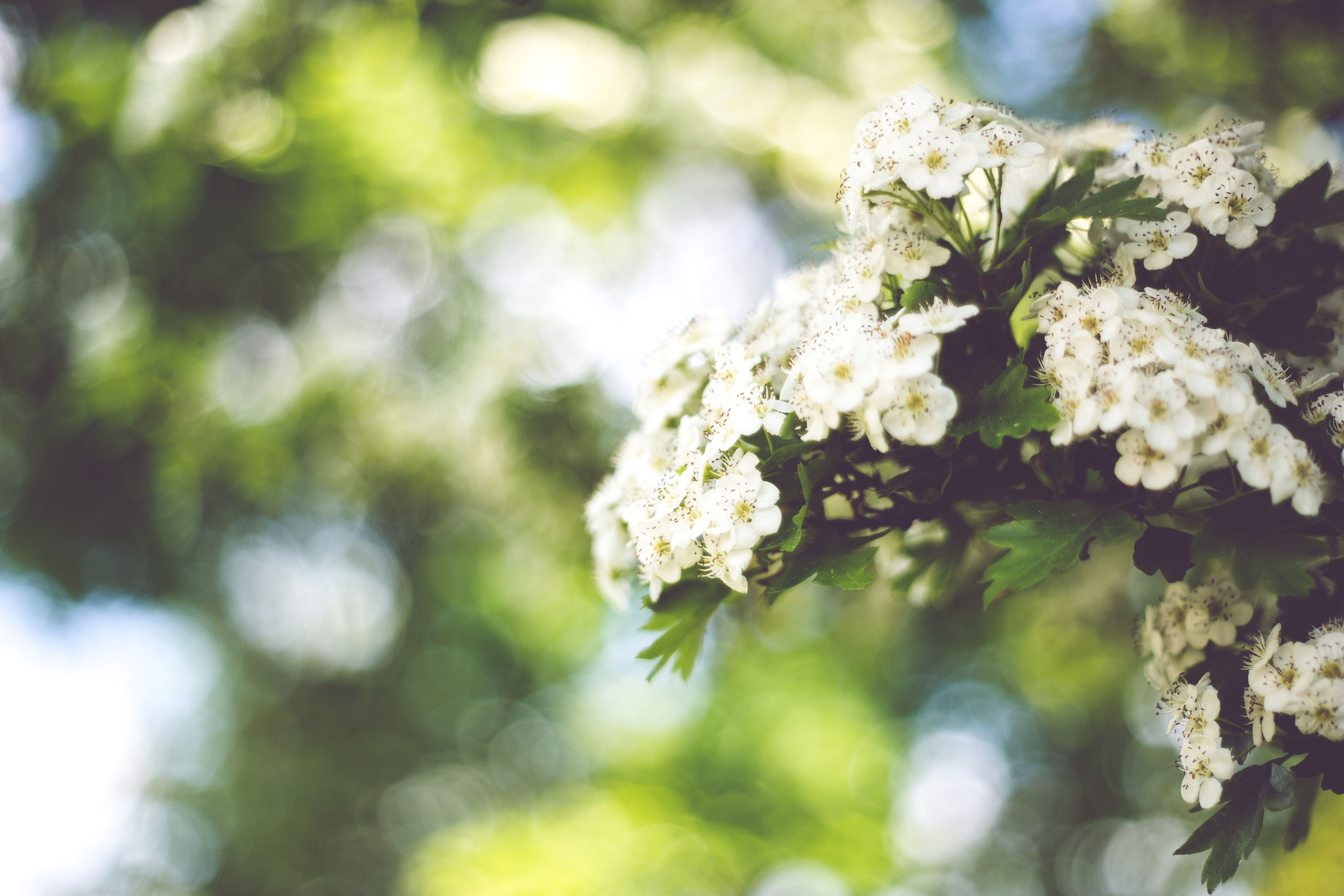 Little white flowers with bokeh / right, Bloom, Blooming, Bokeh, Flora, HQ Photo