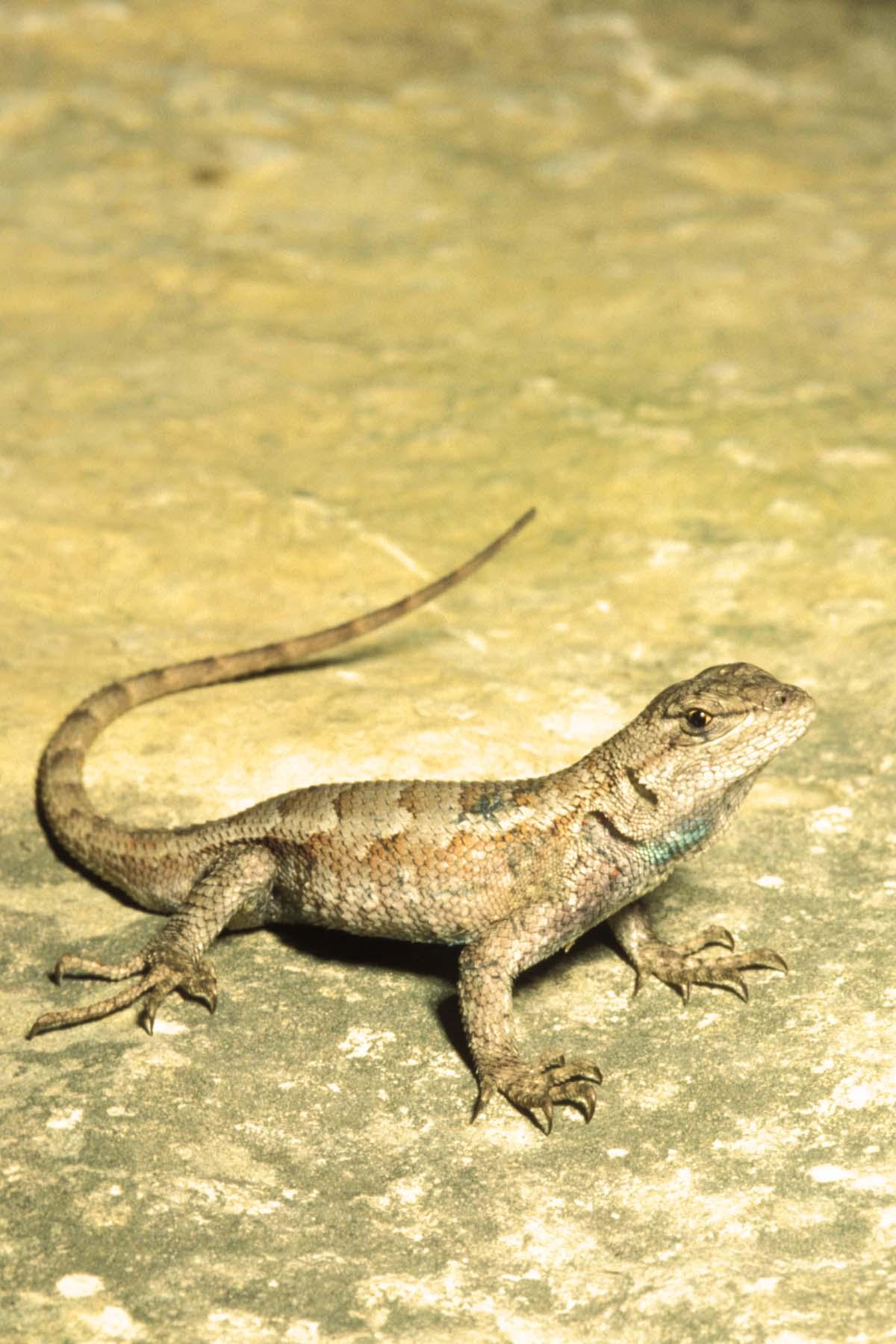 Prairie Lizard Northern Fence Lizard | MDC Discover Nature