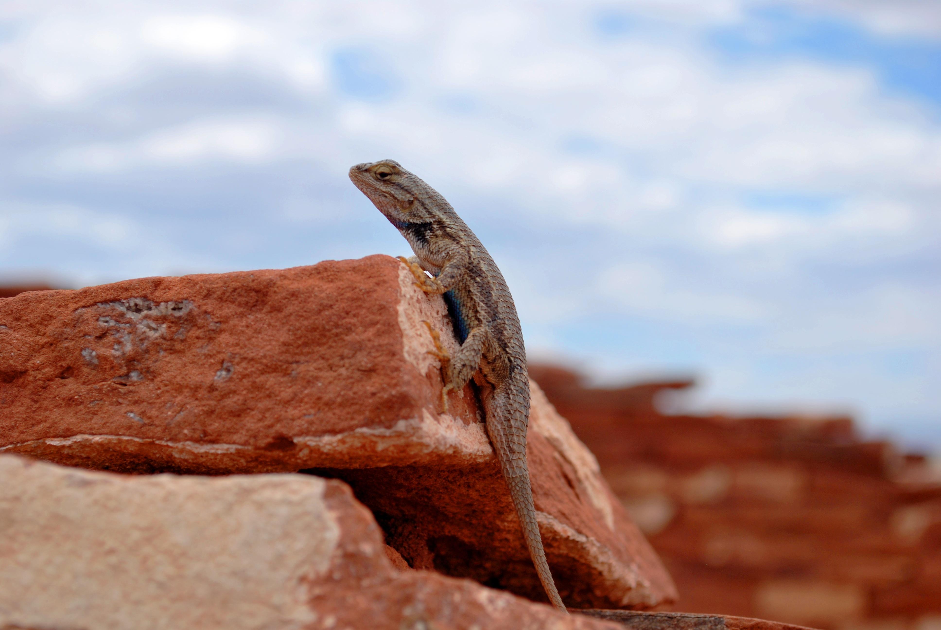 Lizard, Rocky, Stone, Tongue, Rock, HQ Photo