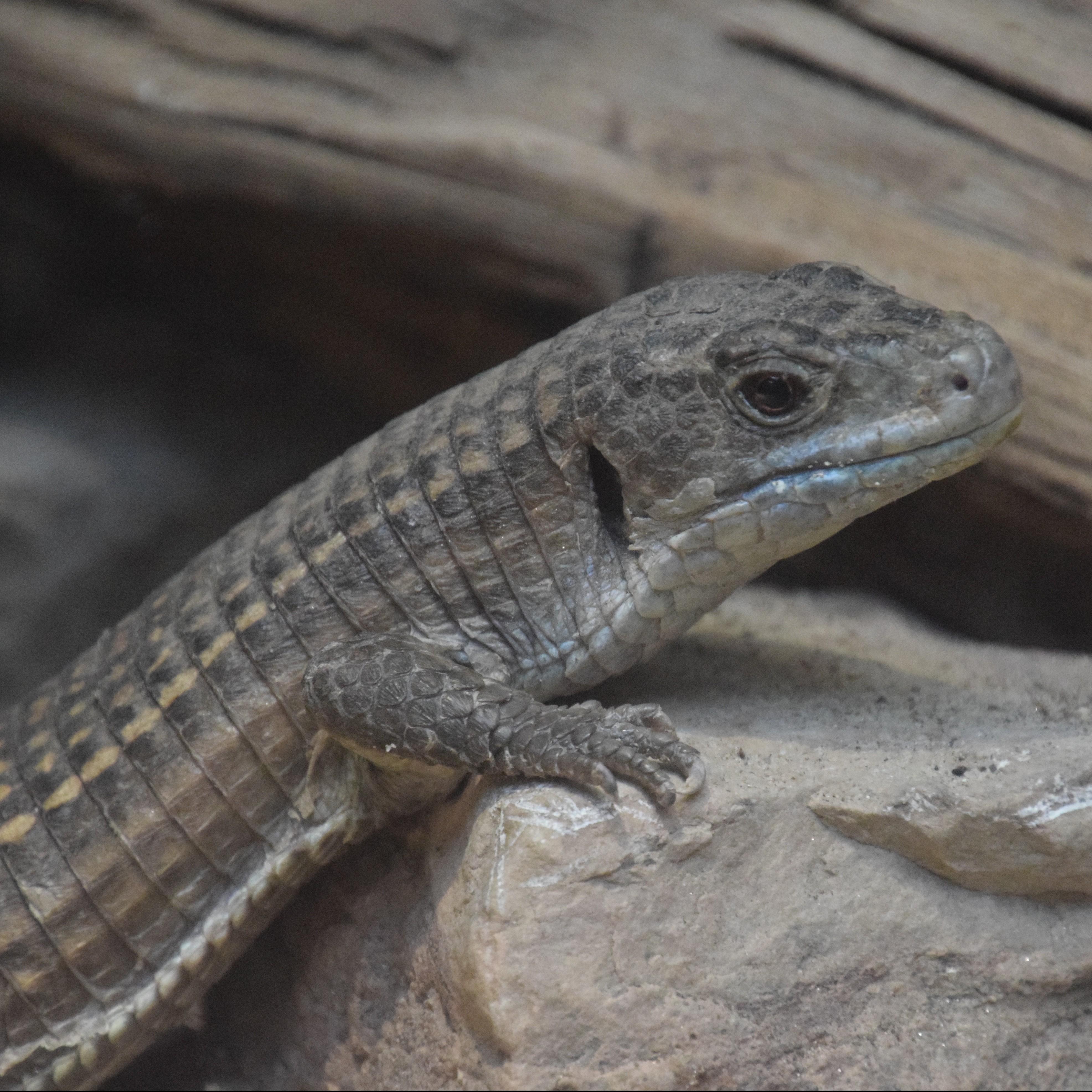 Great Plated Lizard - Seneca Park Zoo