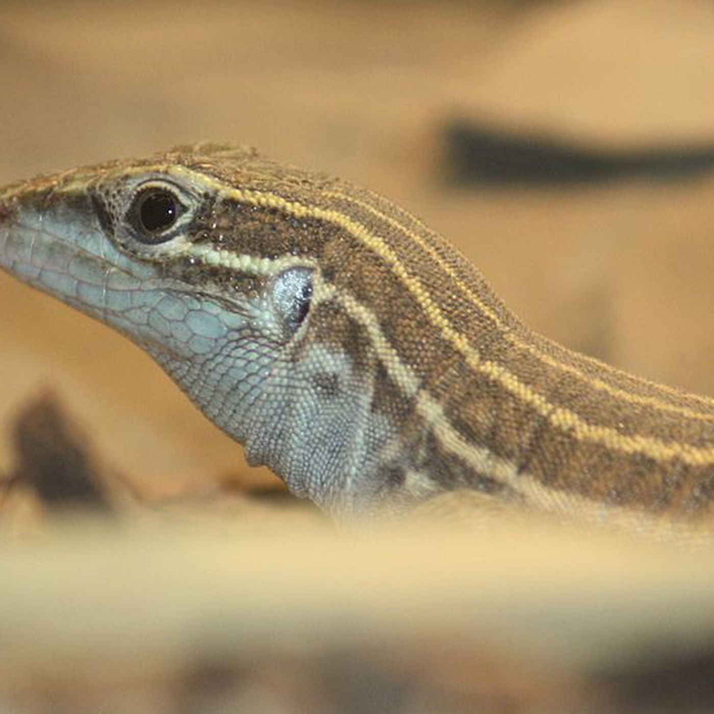 The Verge Review of Animals: the all-female whiptail lizard - The Verge