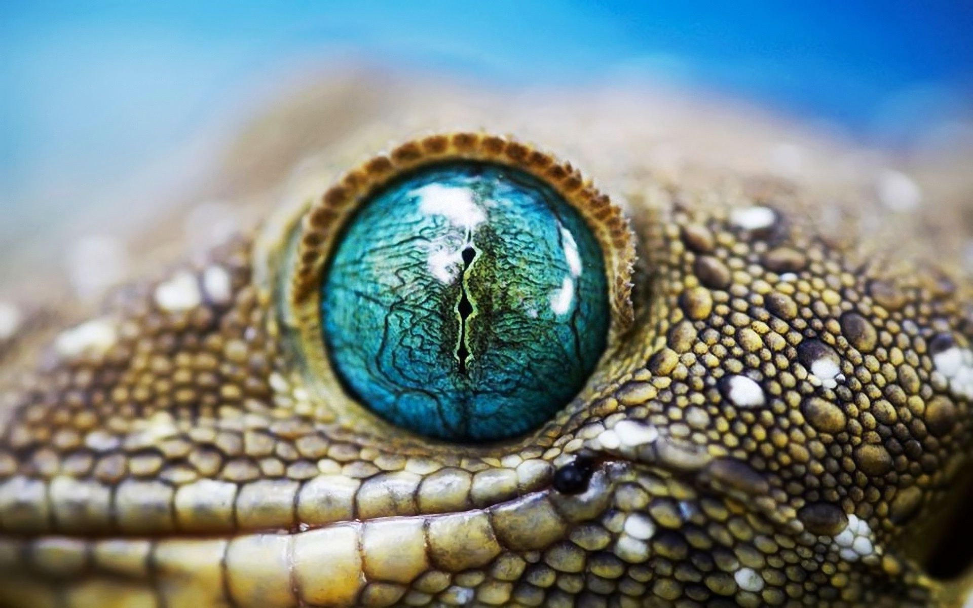 Lizard Macro Blue Eye | Augen | Pinterest | Blue eyes, Lizards and Eye