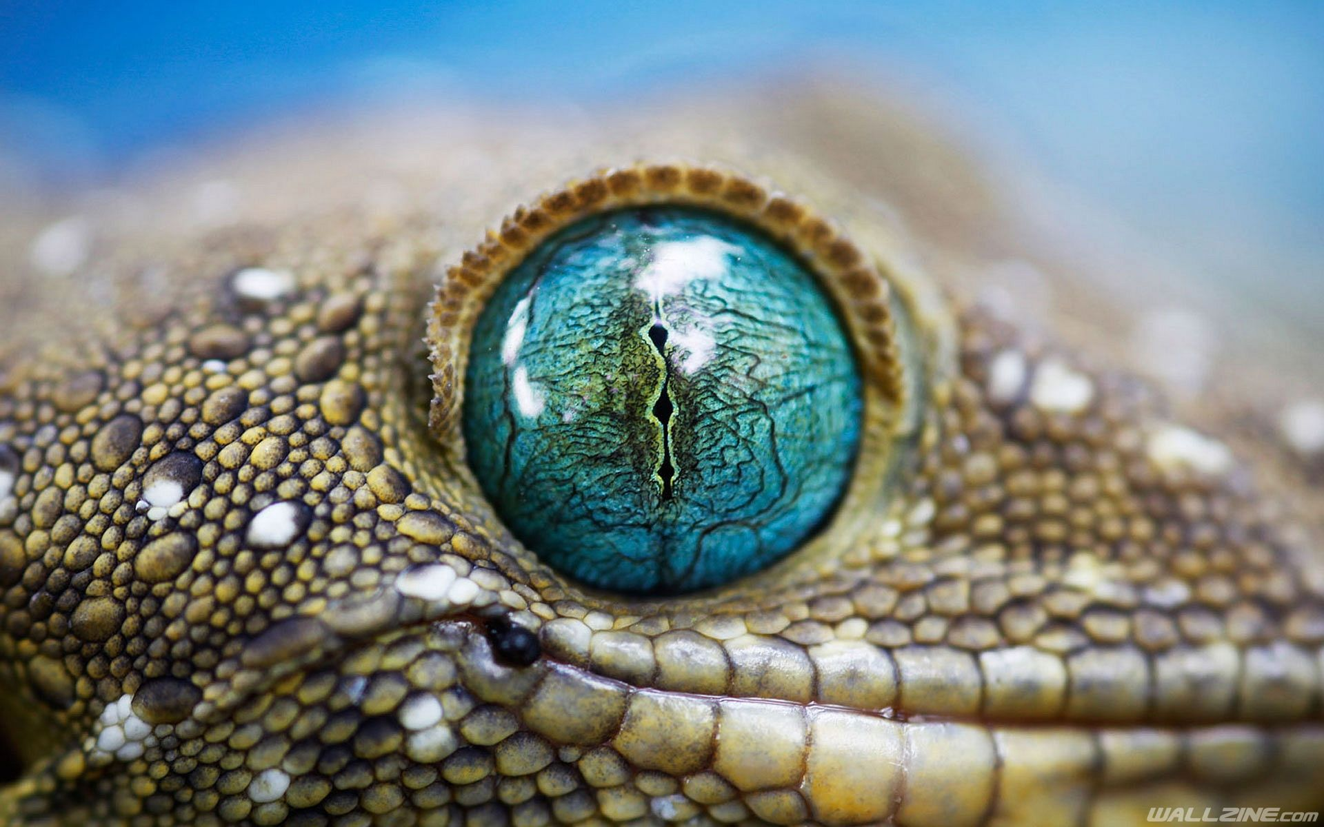 Lizard Eye Wallpaper | HD Desktop Wallpapers | Pinterest | Lizards