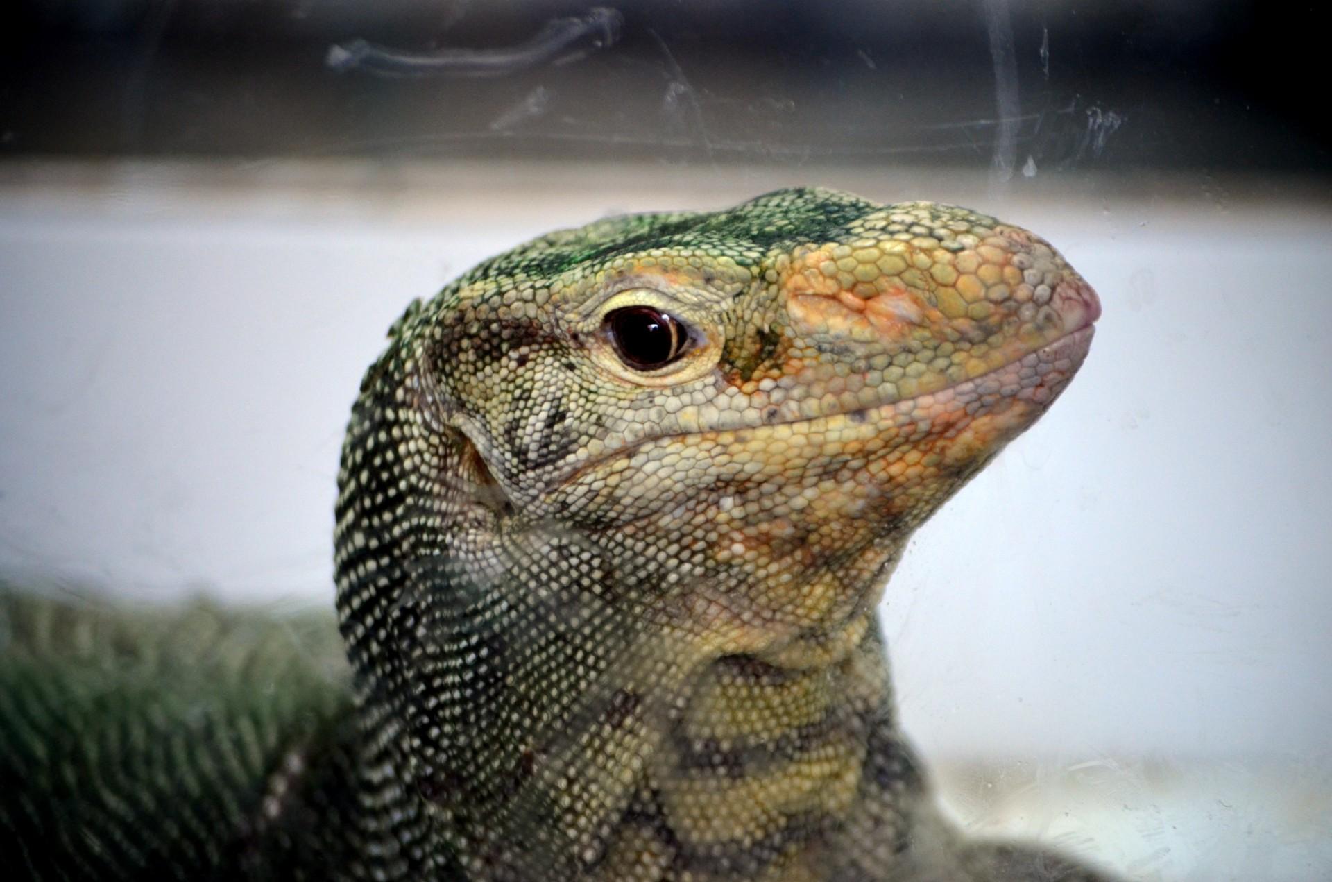 Lizard Head Free Stock Photo - Public Domain Pictures