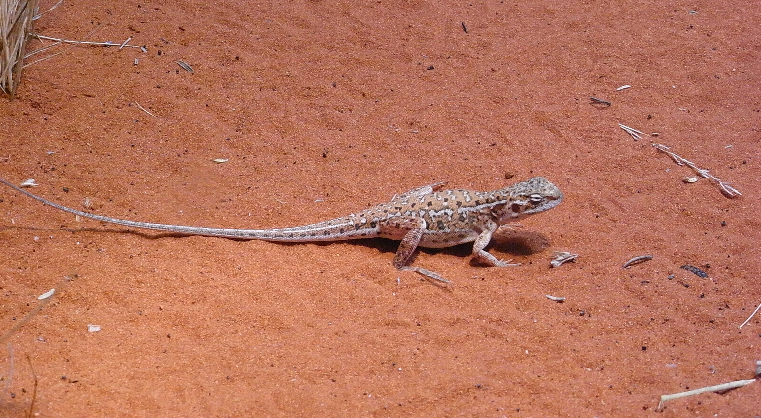 Lizard on red sand photo