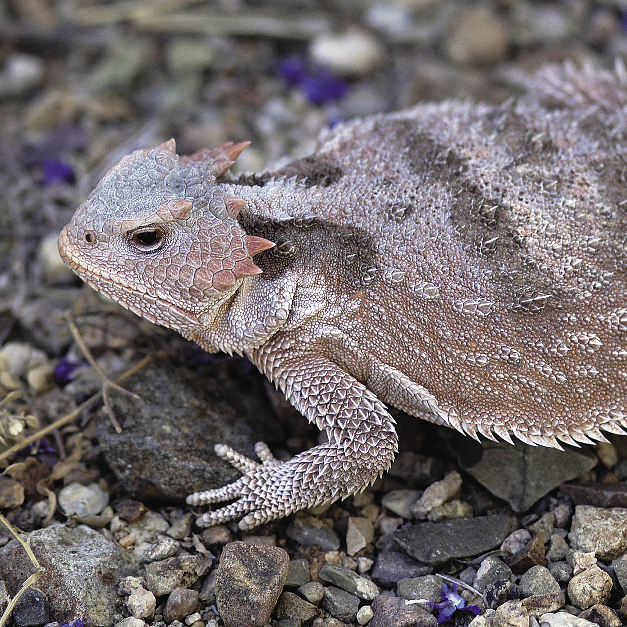 Short-Horned Lizard | National Geographic
