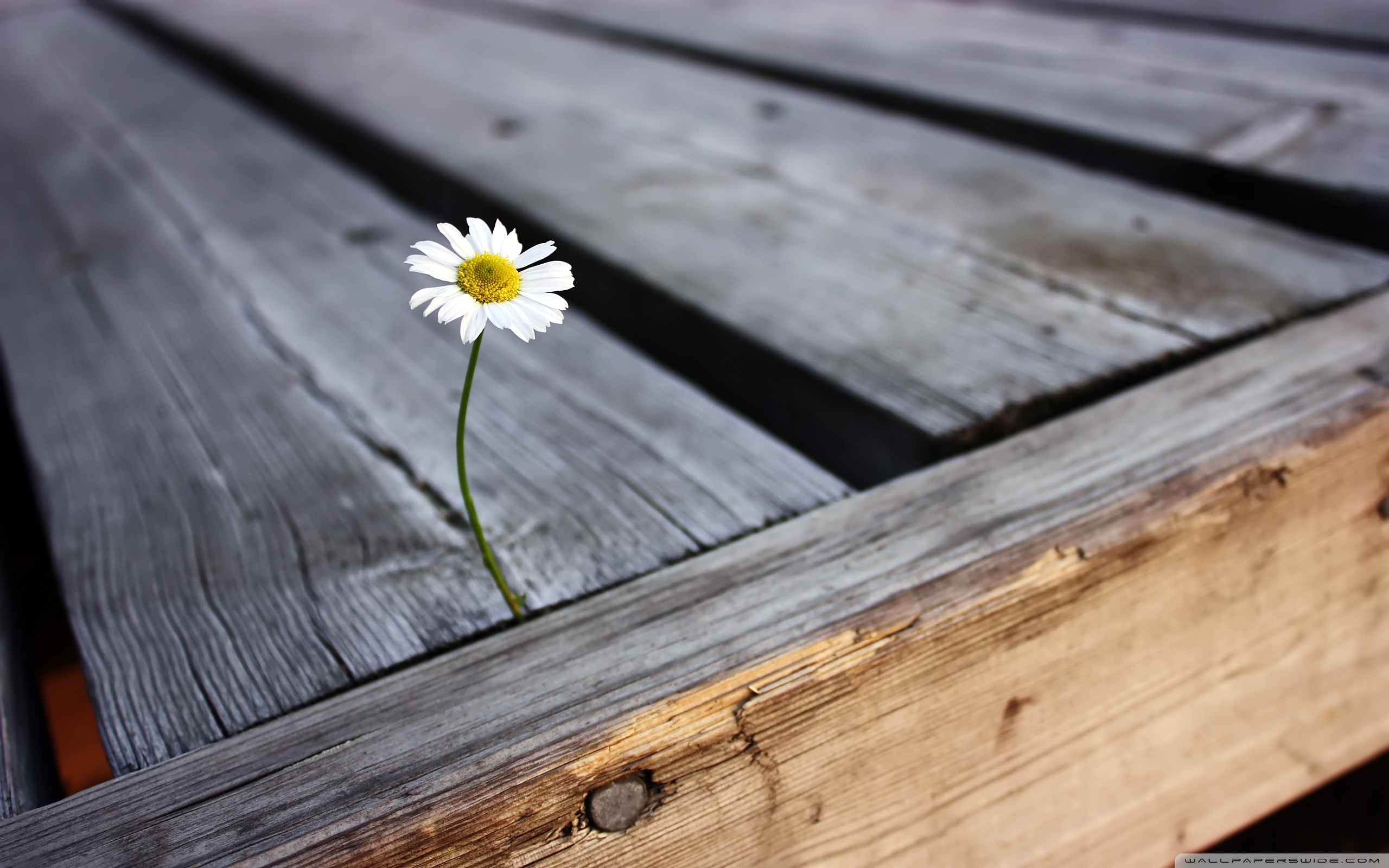 Lonely flower photo