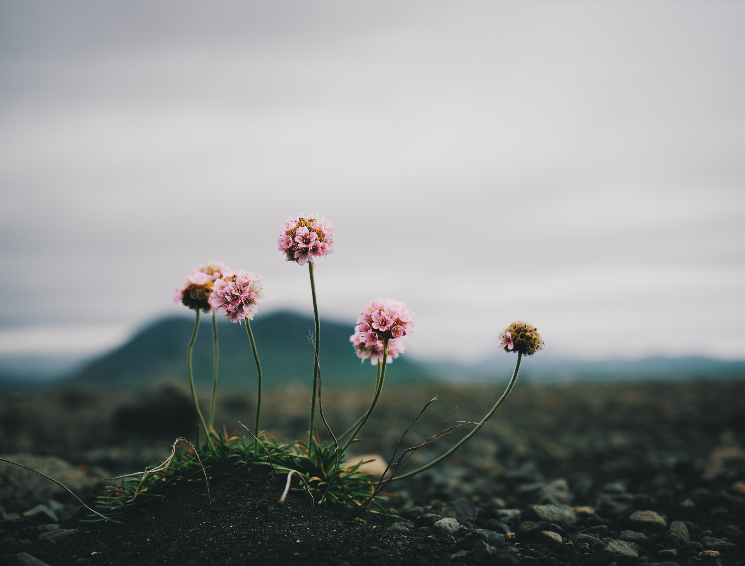 Lonely flower on a massive stretch of only ashes and rubble. There ...
