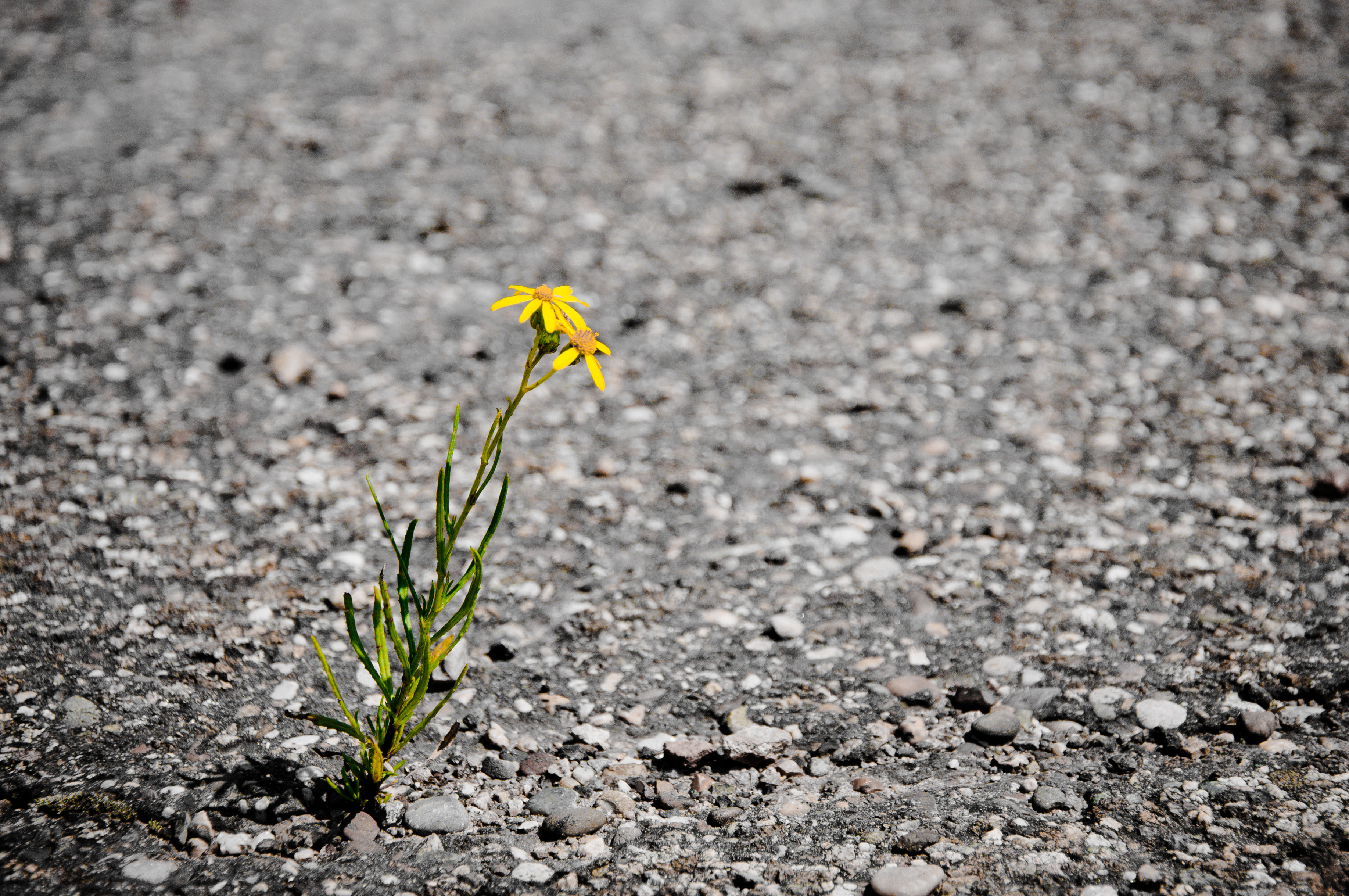 Lonely flower, Asphalt, Pavement, Weeds, Weed, HQ Photo