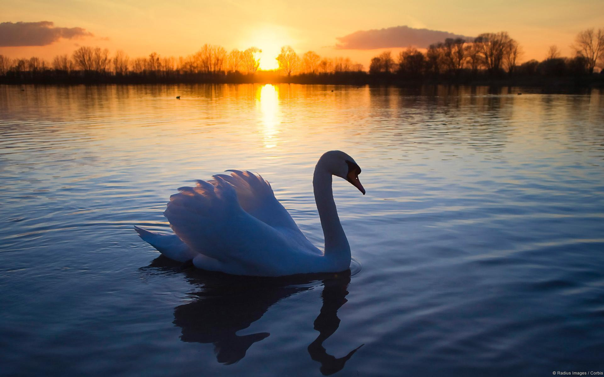 Lonely swan photo