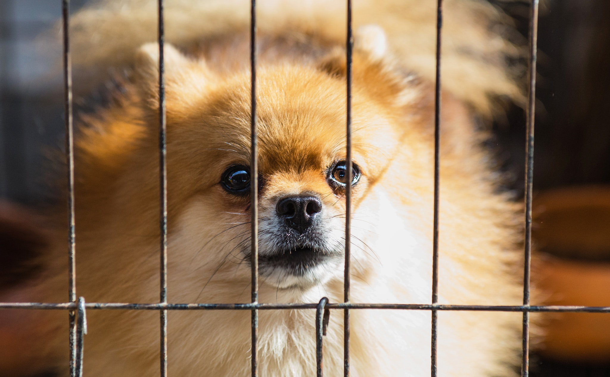 Long-coated brown puppy inside cage photo