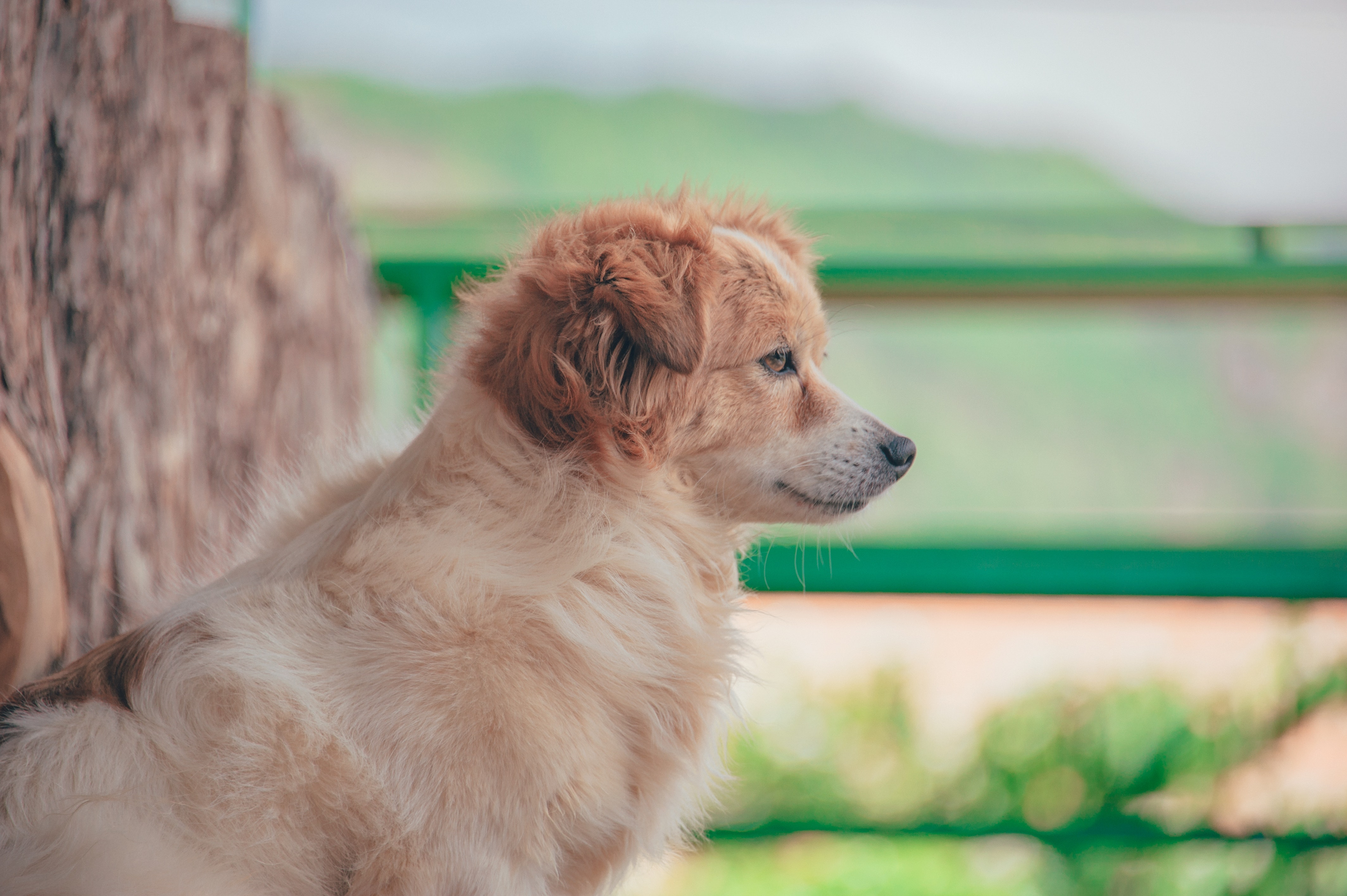Long-coated Dog, Mammal, Young, Sit, Side view, HQ Photo