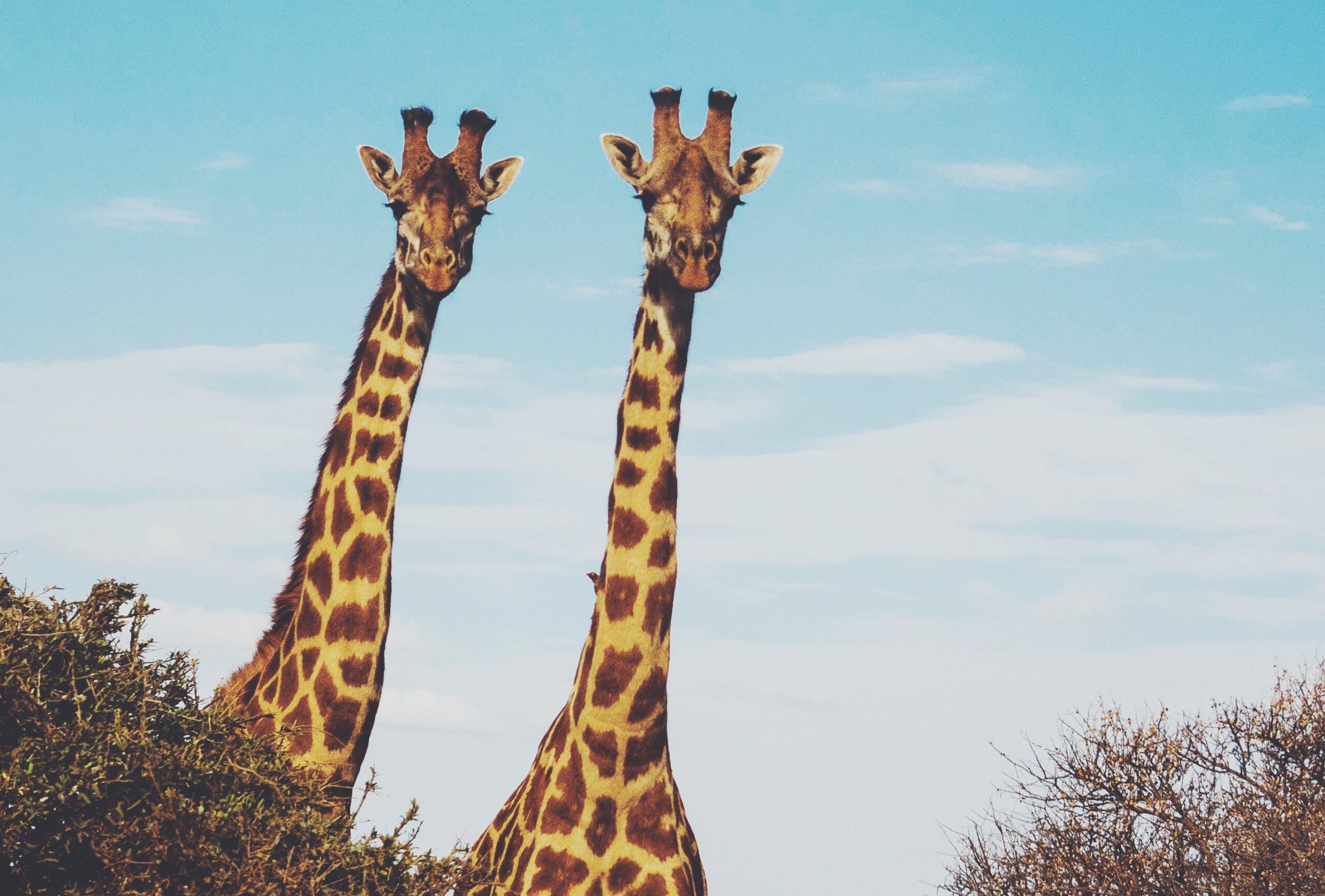 How the giraffe got its long neck | Cosmos