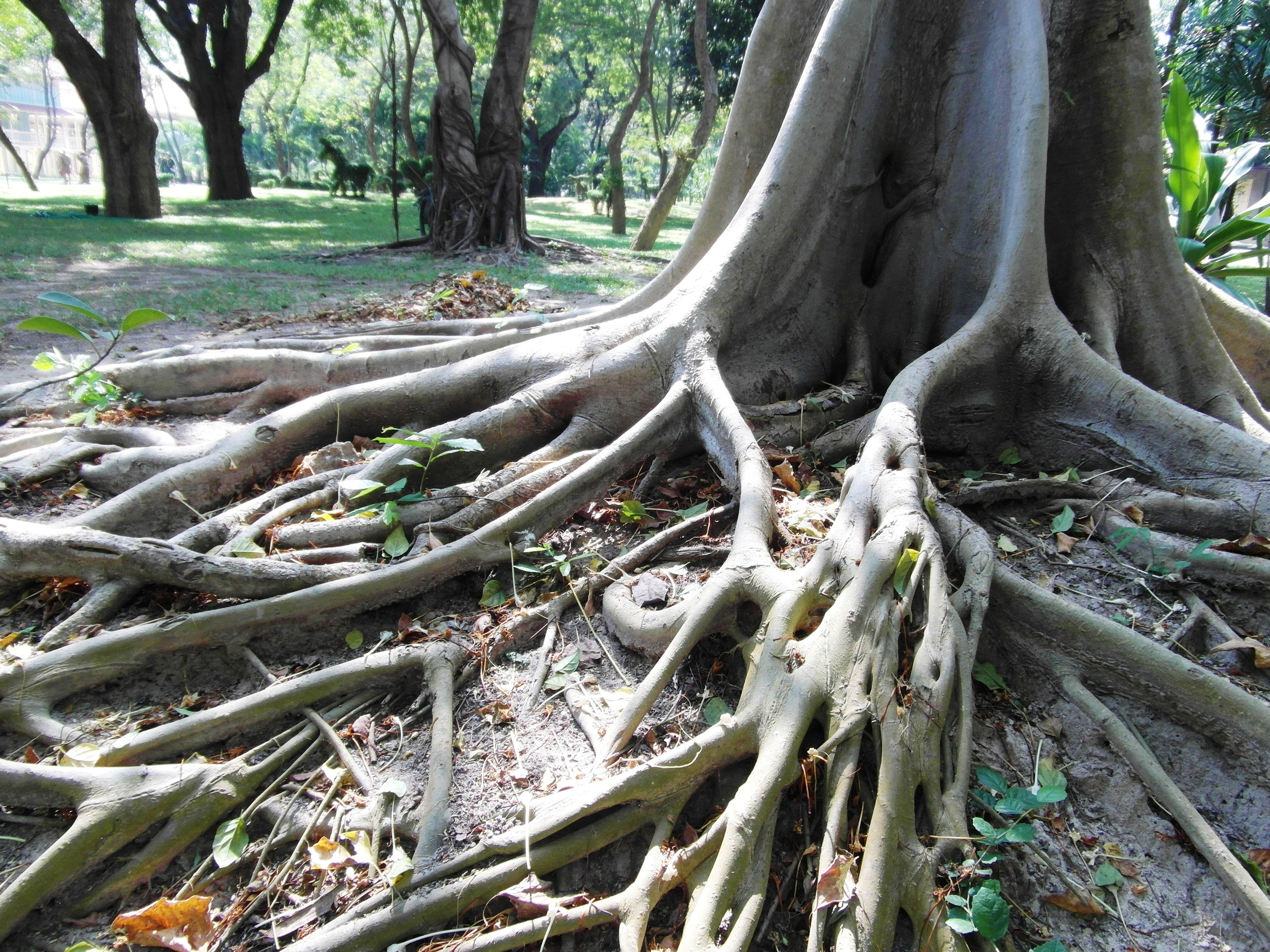 Long tropical tree roots photo