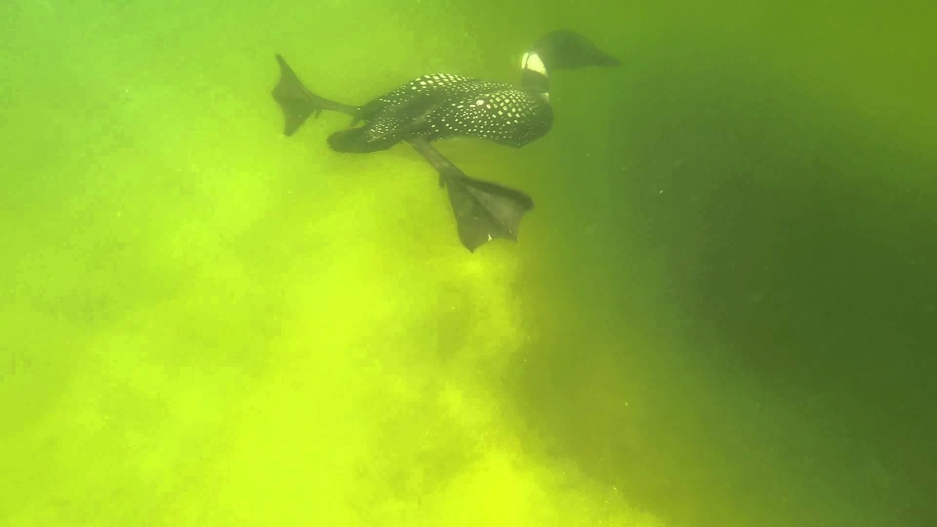 Underwater Loons - YouTube