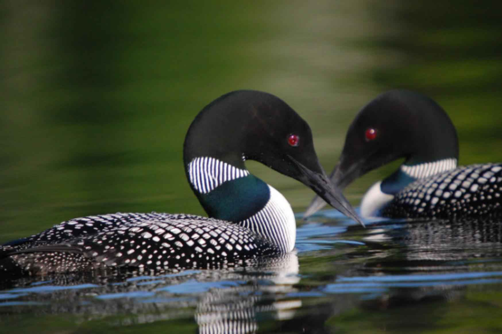 Free picture: gavia, immer, loons, birds, pair, swimming