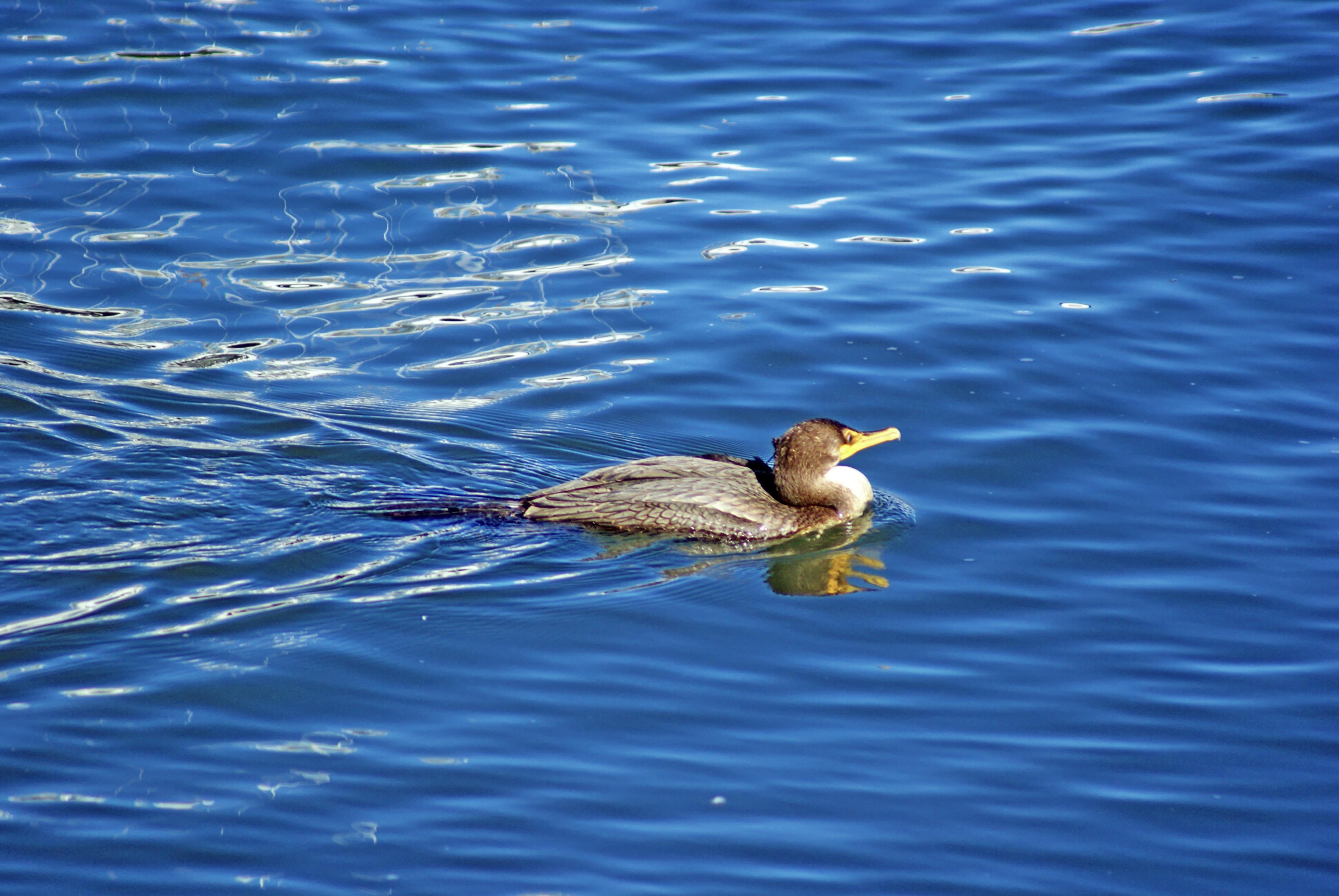 Loon Swimming, Air, Seagull, Ocean, One, HQ Photo